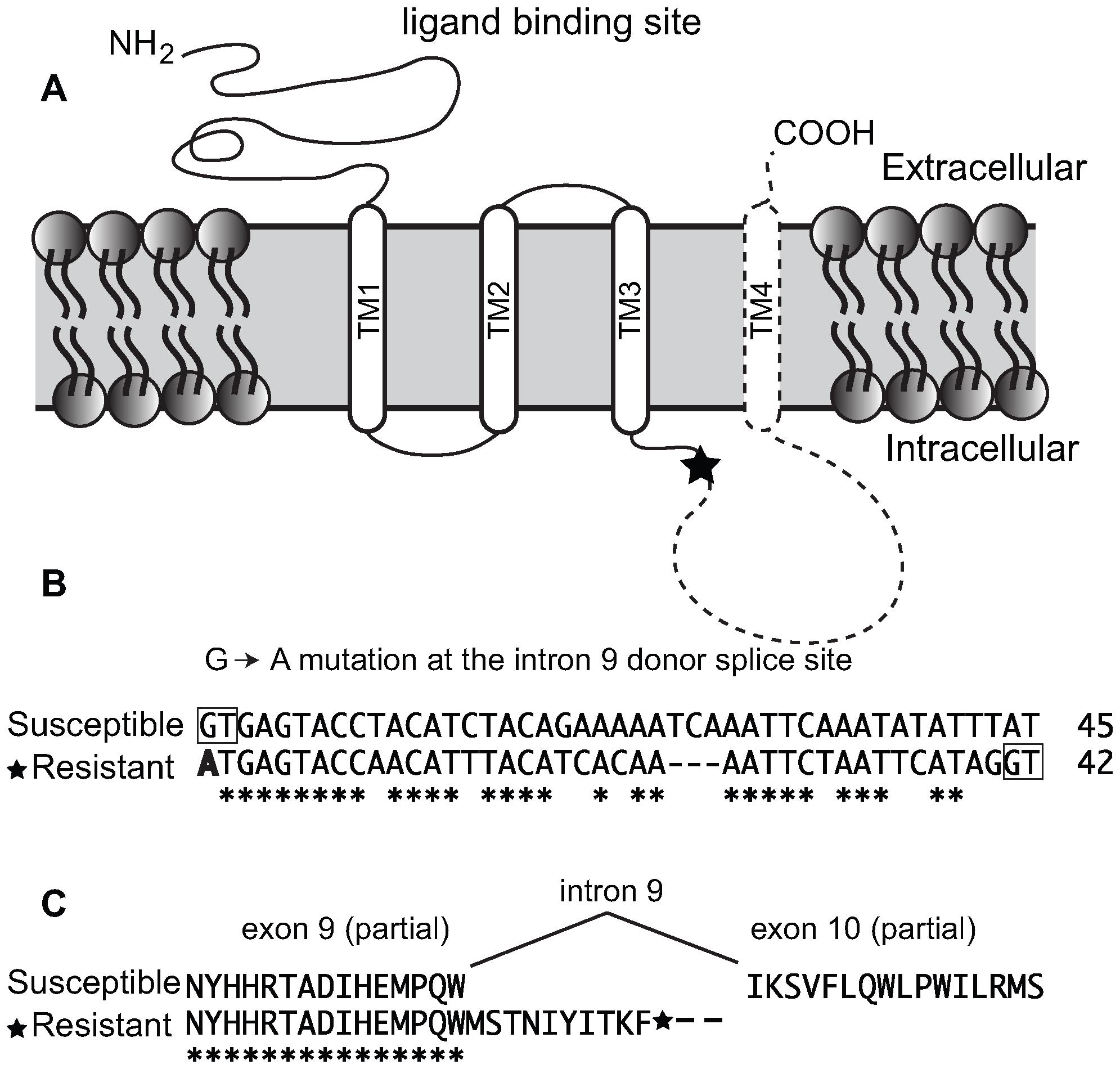 Truncating mutation of nAChR Pxα6 in spinosad resistant <i>Plutella xylostella</i>.