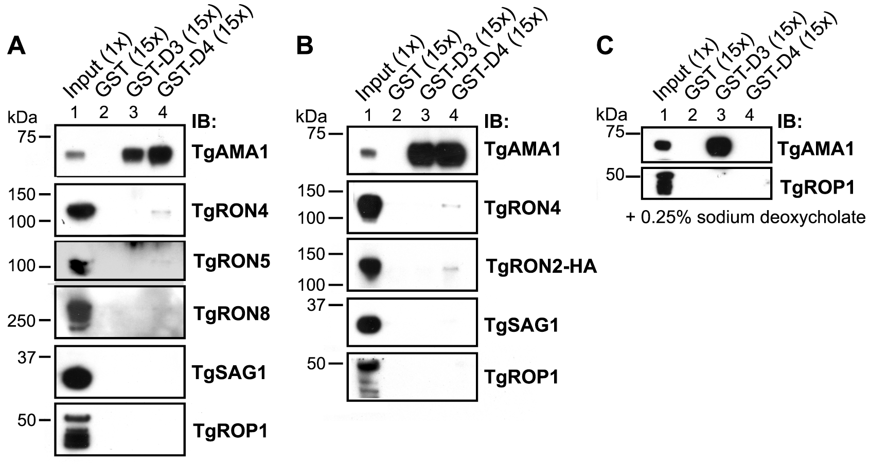 TgRON2 fusions GST-D3 and GST-D4 independently and specifically interact with TgAMA1 from parasite lysates.