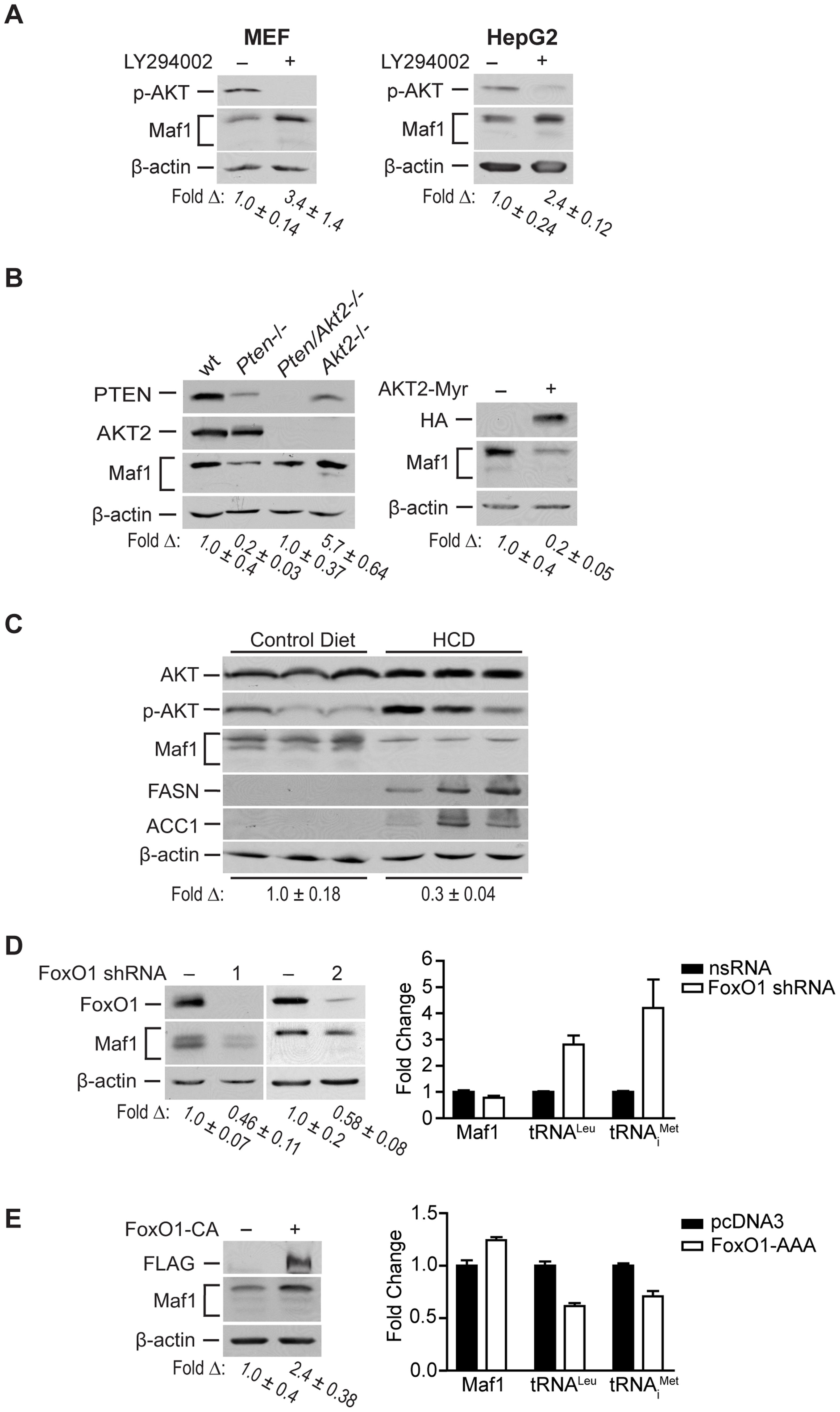 Maf1 is regulated through PI3K/AKT/FOXO1 signaling.