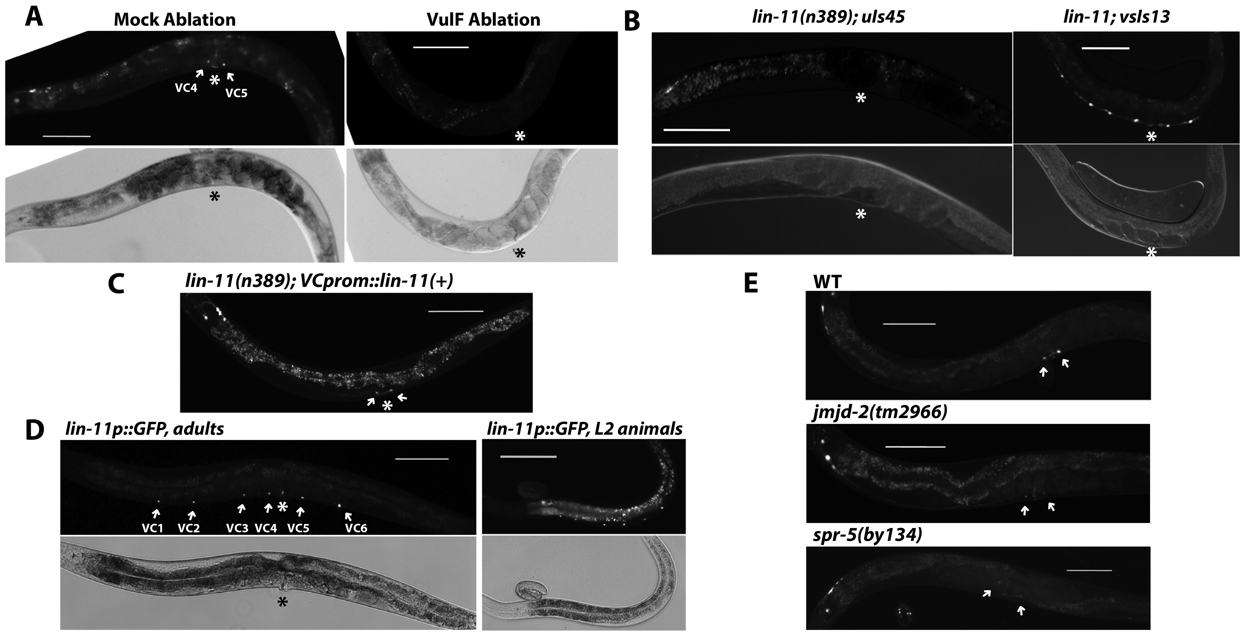 vulF cells, LIN-11, and histone demethylases are required to activate <i>unc-4</i> expression in vulval VC neurons.