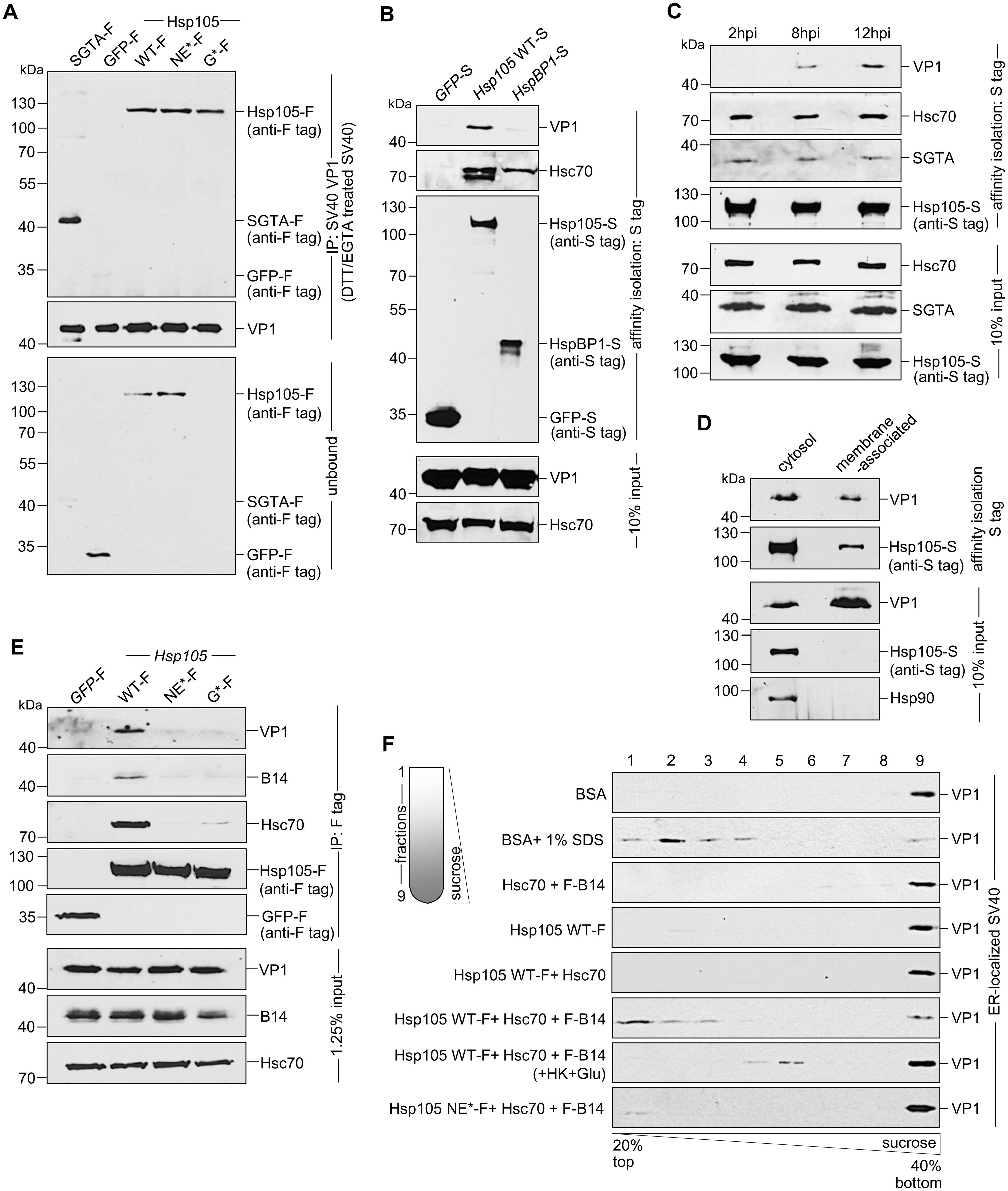 Hsp105 engages ER membrane-penetrating SV40 and promotes disassembly of the virus.