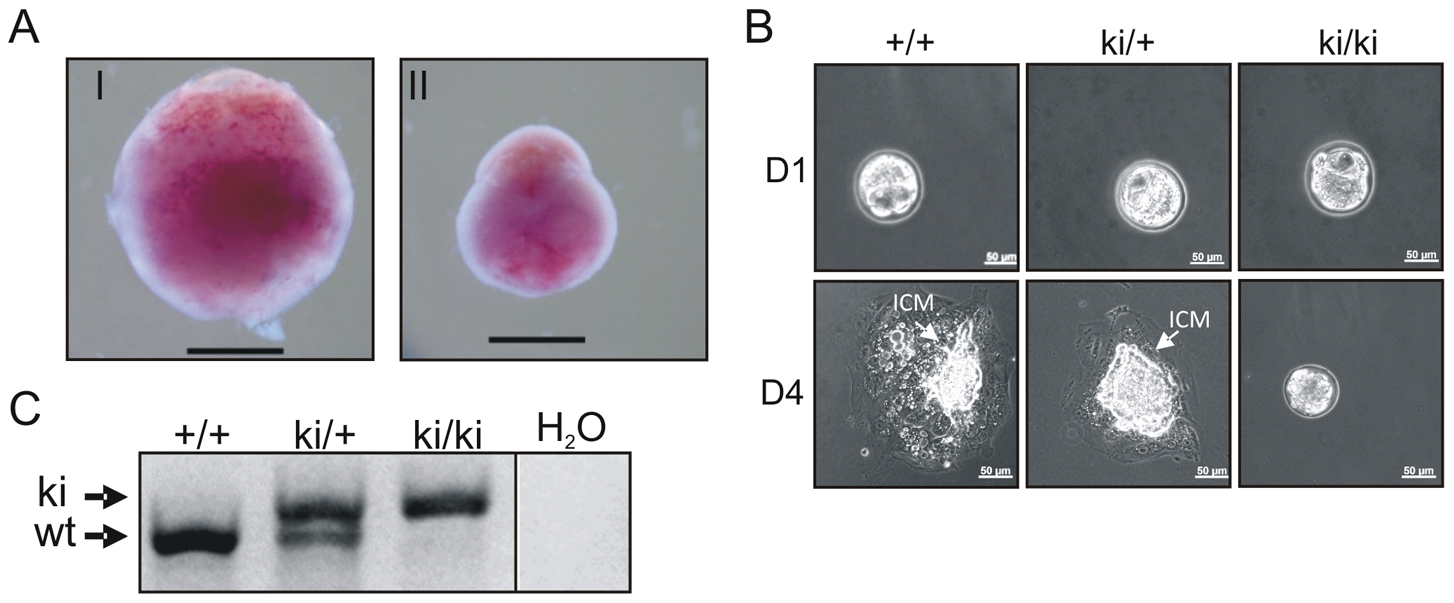 Inactivation of the AAD results in early embryonic developmental defects.