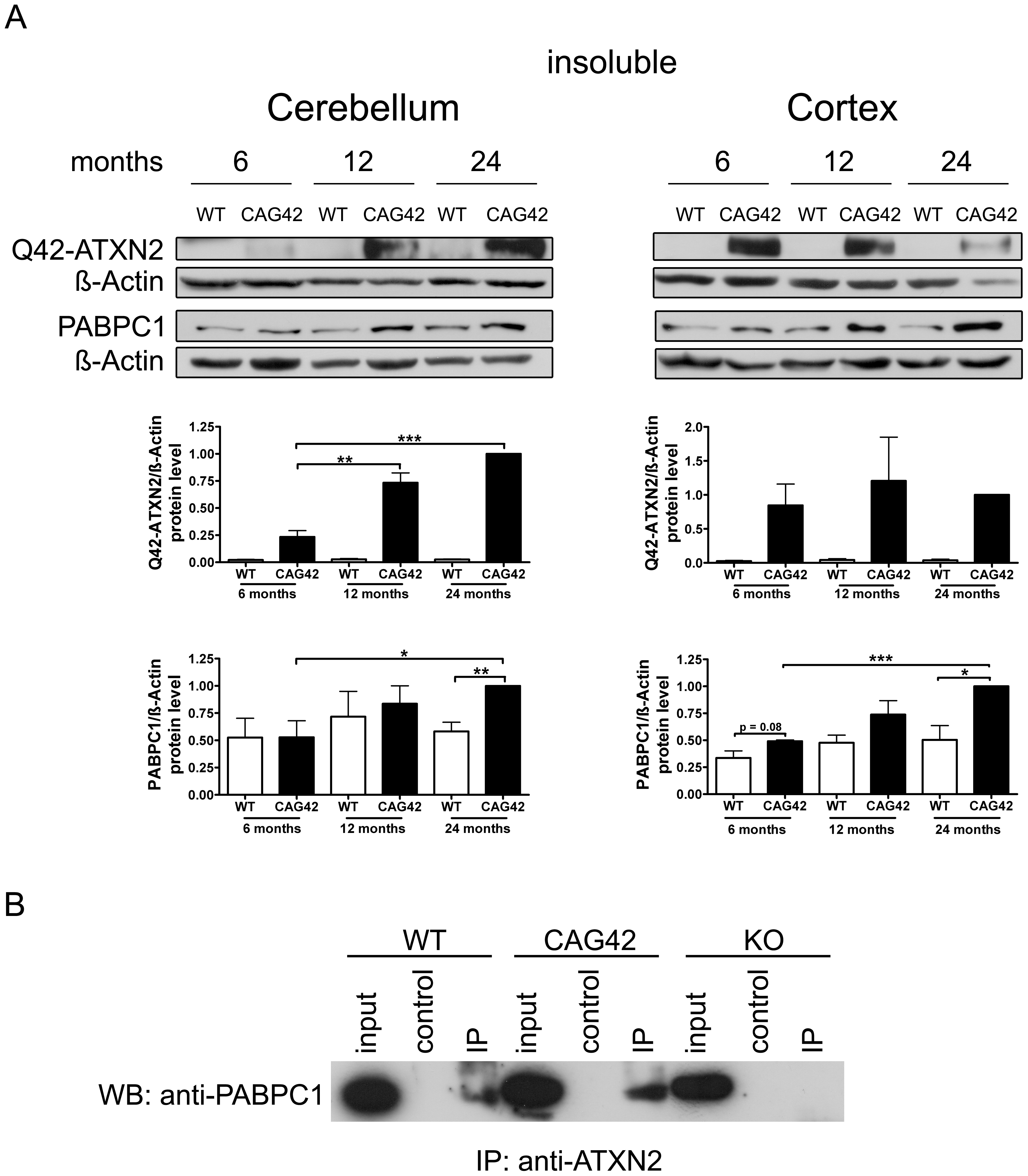 Increased sequestration of PABPC1 by insoluble Q42-ATXN2 with age.