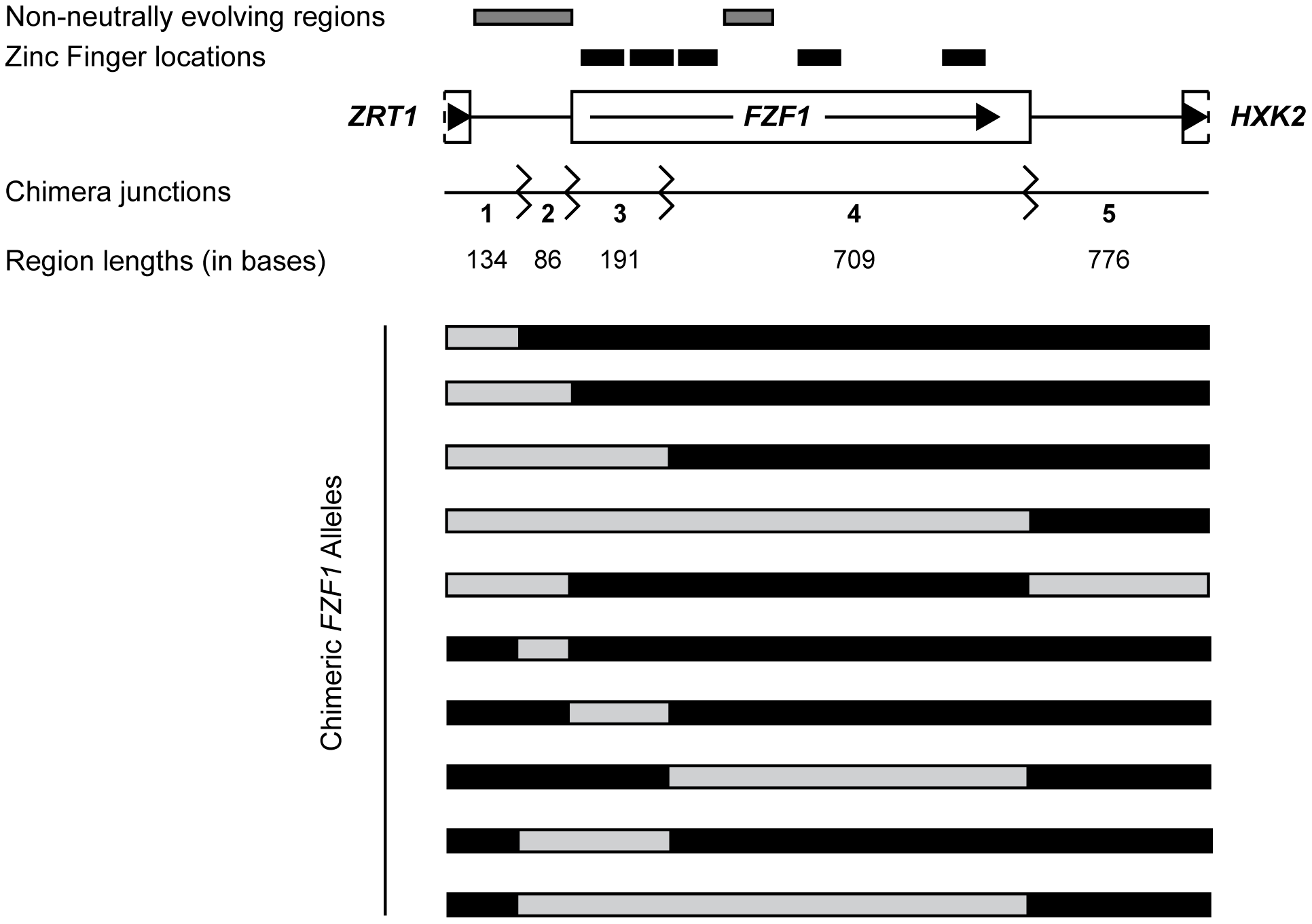 <i>FZF1</i> gene region and chimeric alleles.