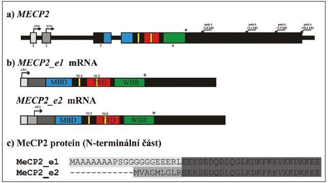 Struktura MECP2 genu a obě izoformy MeCP2 proteinu [97]. a) struktura MECP2 genu na úrovni genomové DNA. b) mRNA vznikající alternativním sestřihem. MECP2_e1 mRNA obsahuje exony 1, 3 a 4, MECP2_e2 mRNA obsahuje všechny čtyři exony a exon 1 je součástí 5' nepřekládané oblasti. c) srovnání N-terminální části obou izoforem MeCP2 proteinu indikující rozdíly v důsledku translace exonu 1, resp. exonu 2. Šipky označují začátek translace (iniciační kodon ATG) MBD: metyl-CpG-vazebná doména, TRD: represorová doména, C-ter: C-terminální doména