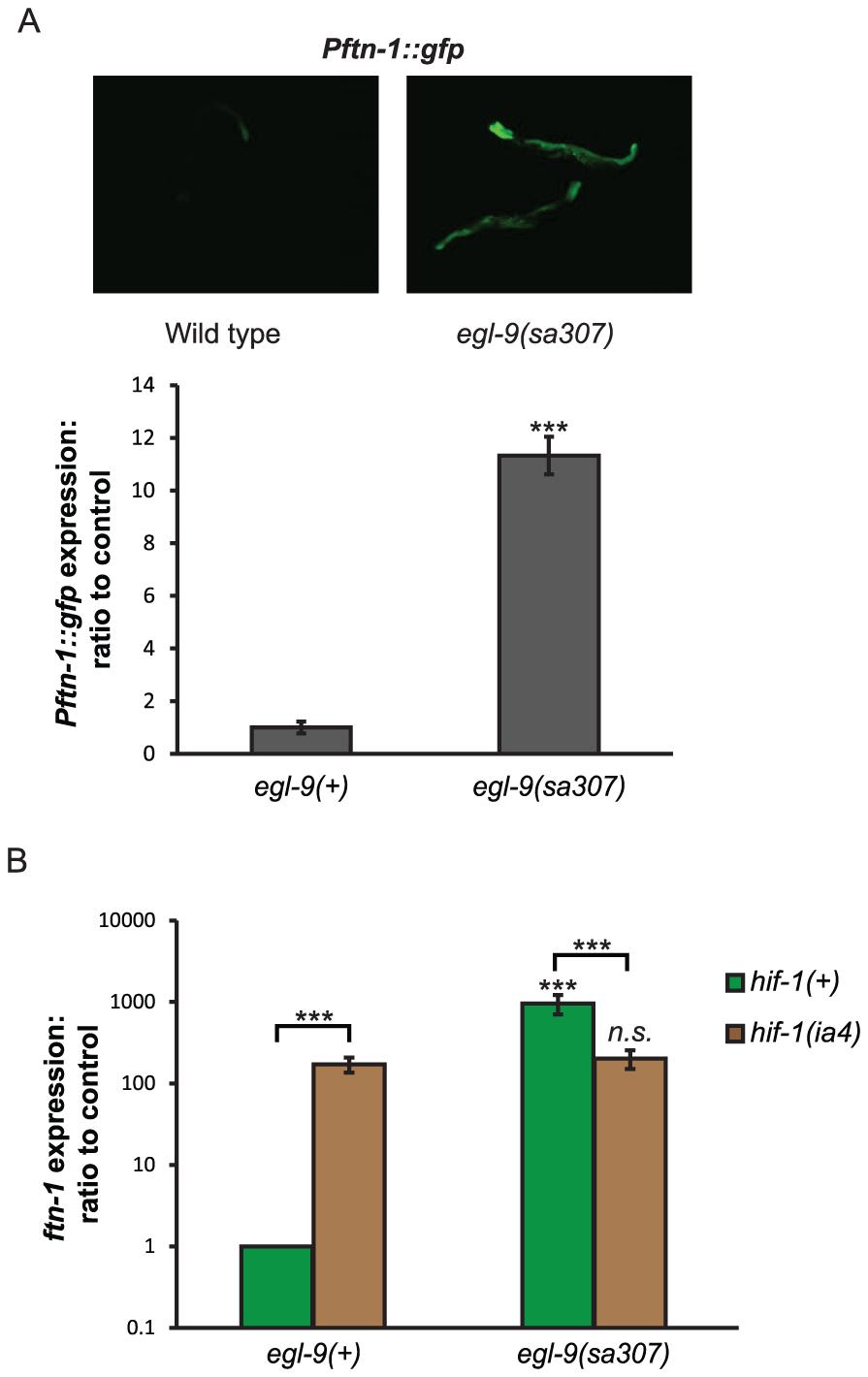 Regulation of <i>ftn-1</i> expression by EGL-9.