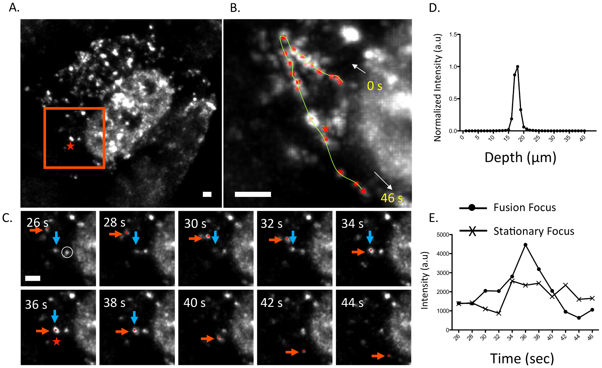 Fusion event of an WSN PA-GFP focus in the cytoplasm of MDCK cells.