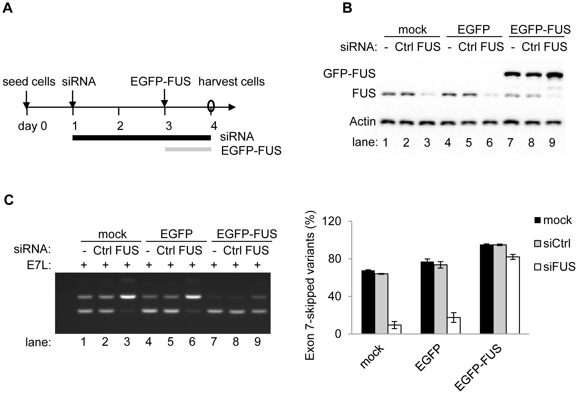 Exogenous expression of FUS can rescue the depletion of endogenous FUS to repress exon 7.