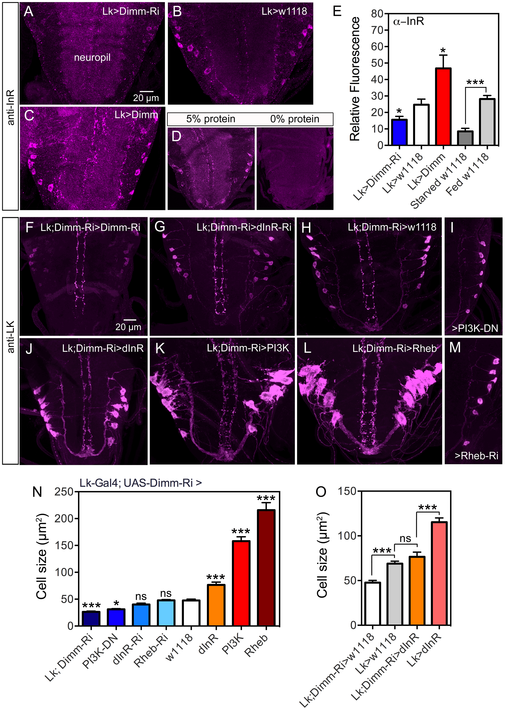 Knockdown of Dimm in ABLKs affects dInR expression and cell size regulation.