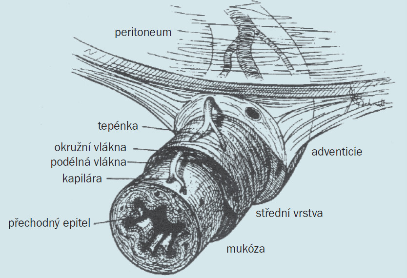 Cévní anatomie močovodu.