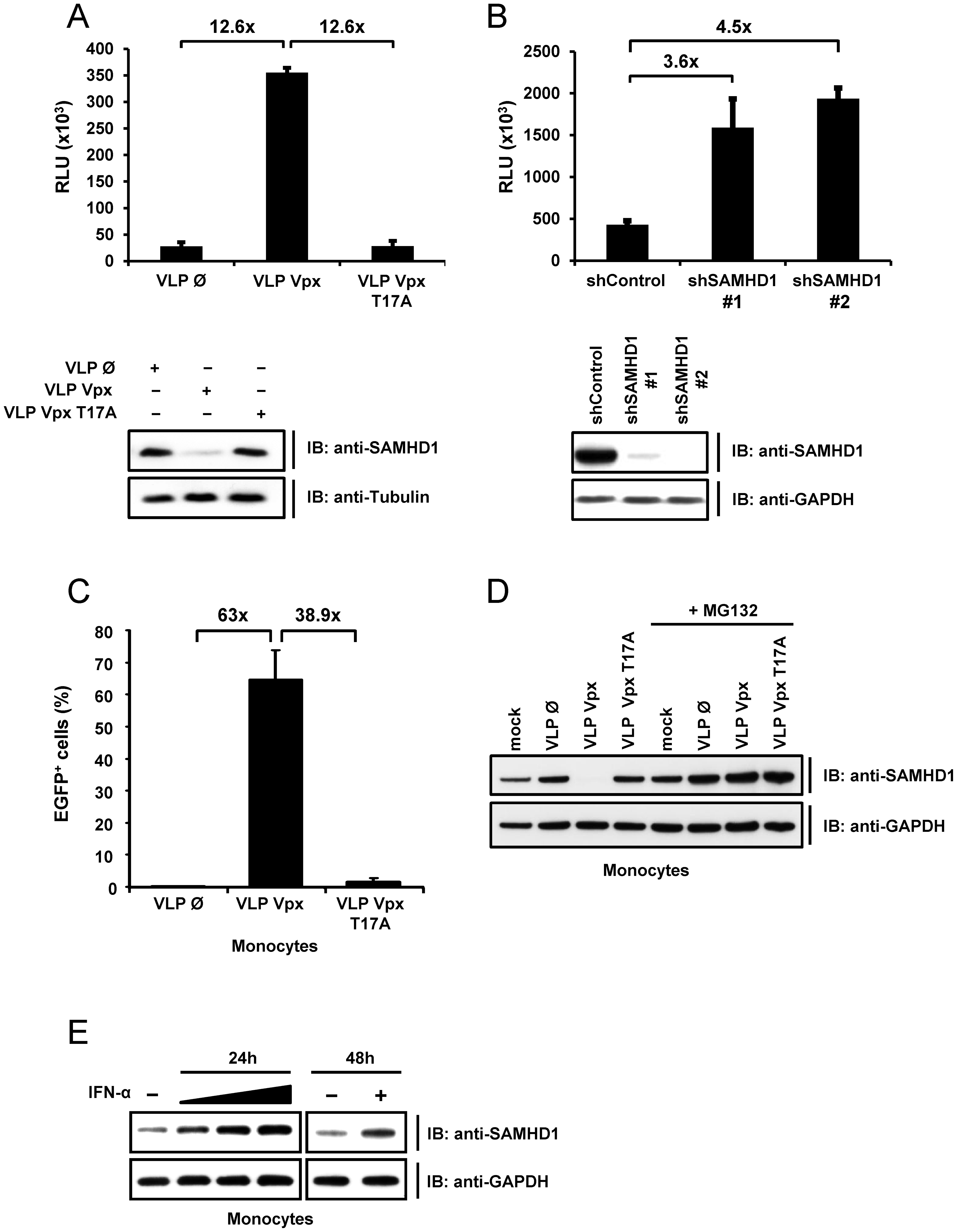 SAMHD1 is a novel interferon-induced restriction factor for HIV-1 in monocytic cells.