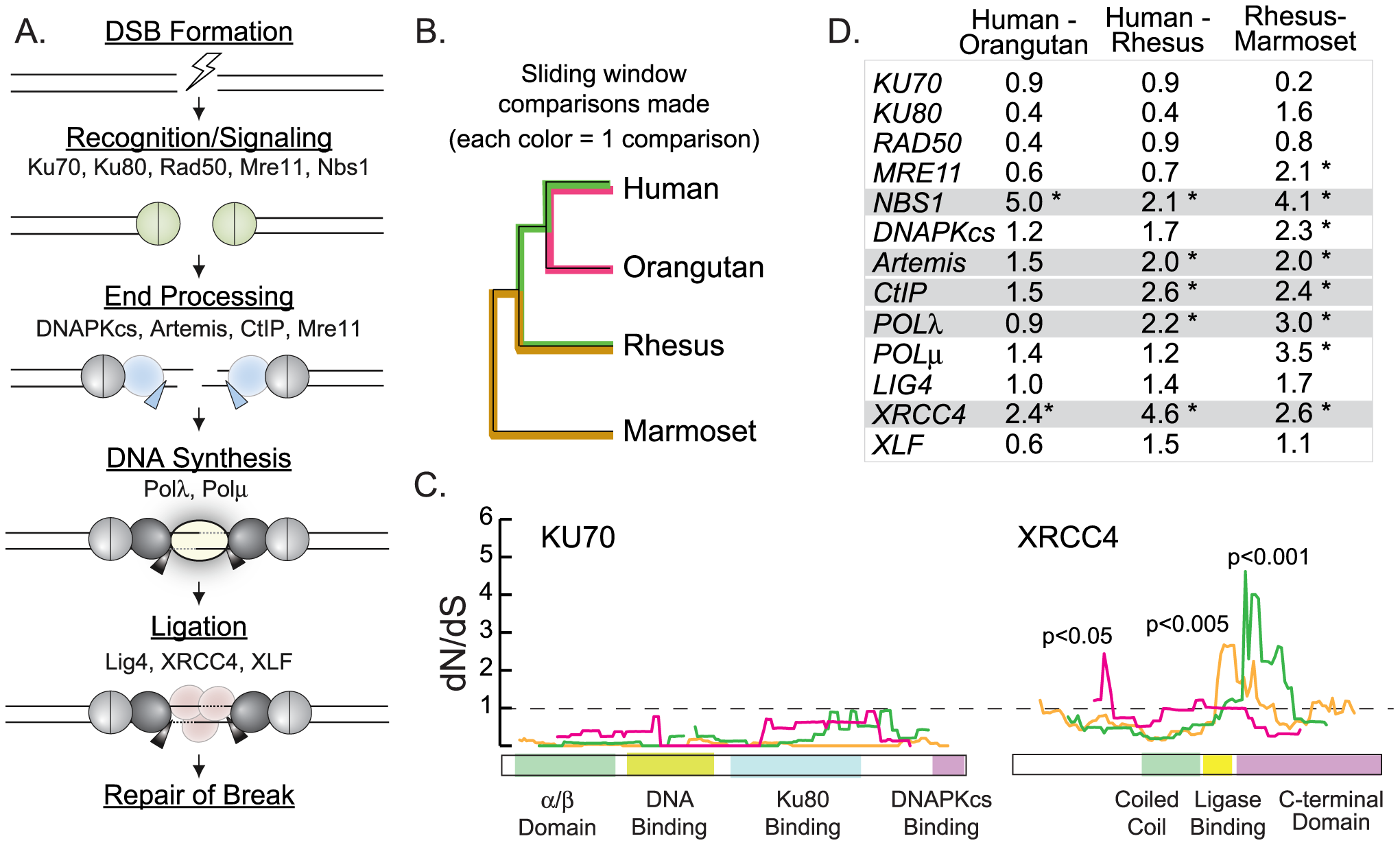 Sliding window analysis identifies five candidate NHEJ genes evolving under positive selection.