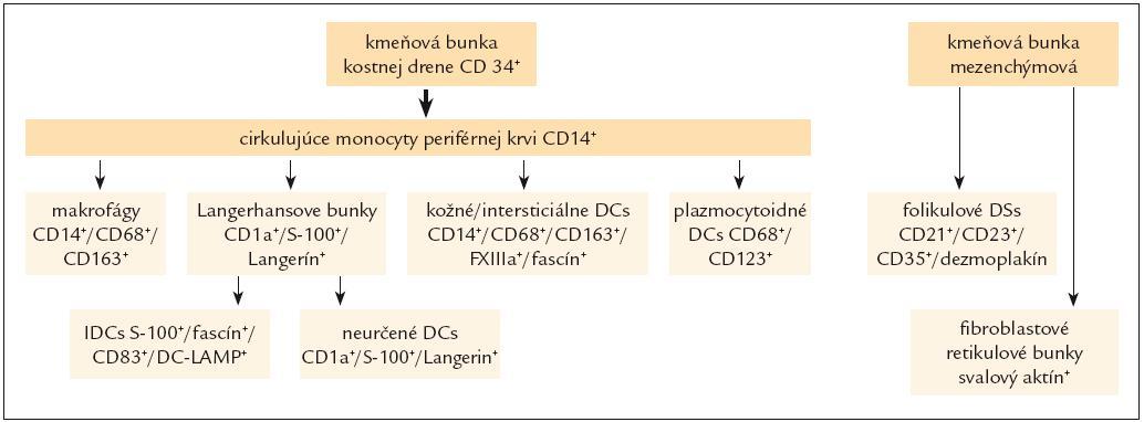 Schéma histogenézy histiocytových a dendritických buniek.