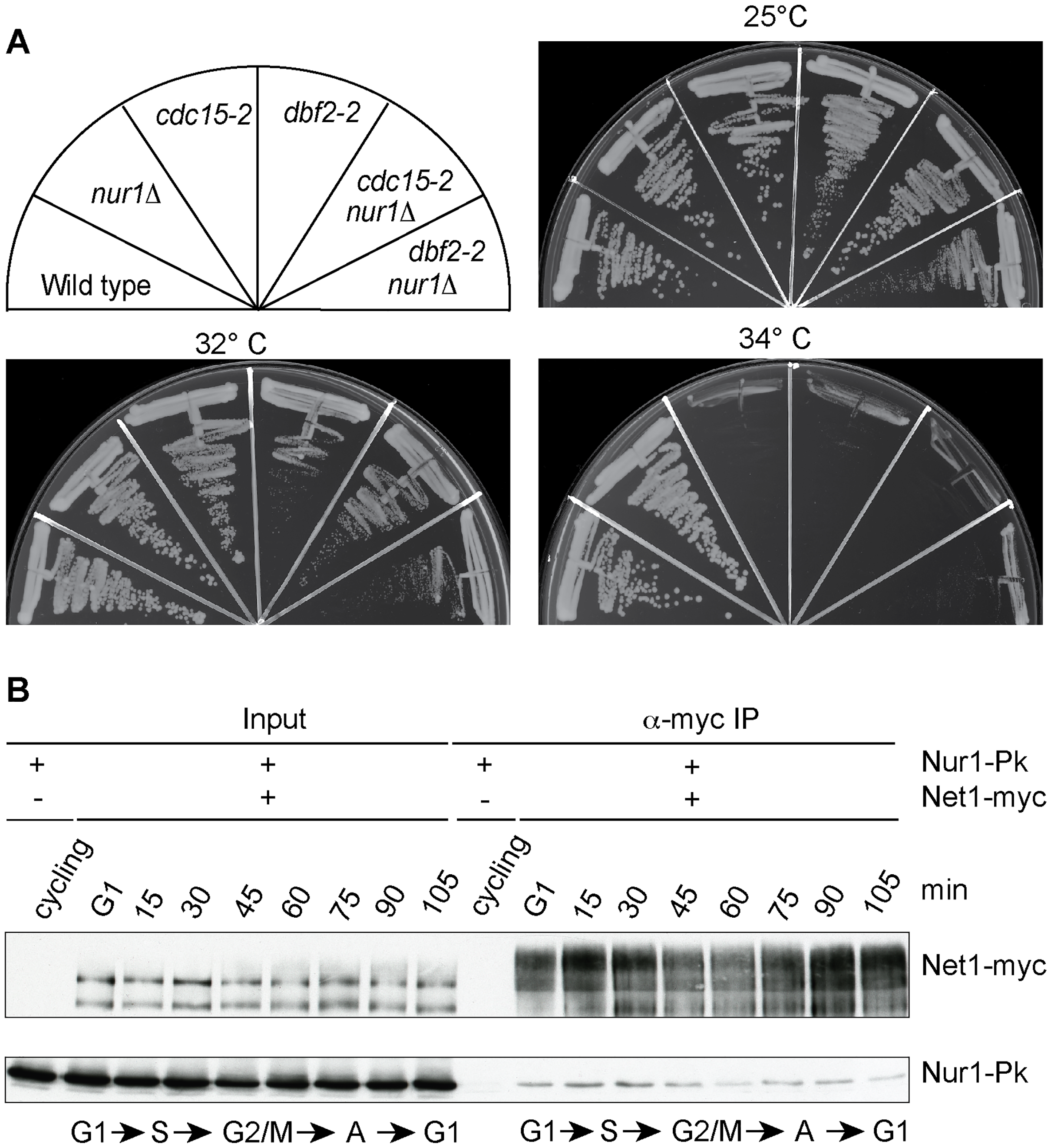 Nur1 acts in early anaphase and interacts with Net1.