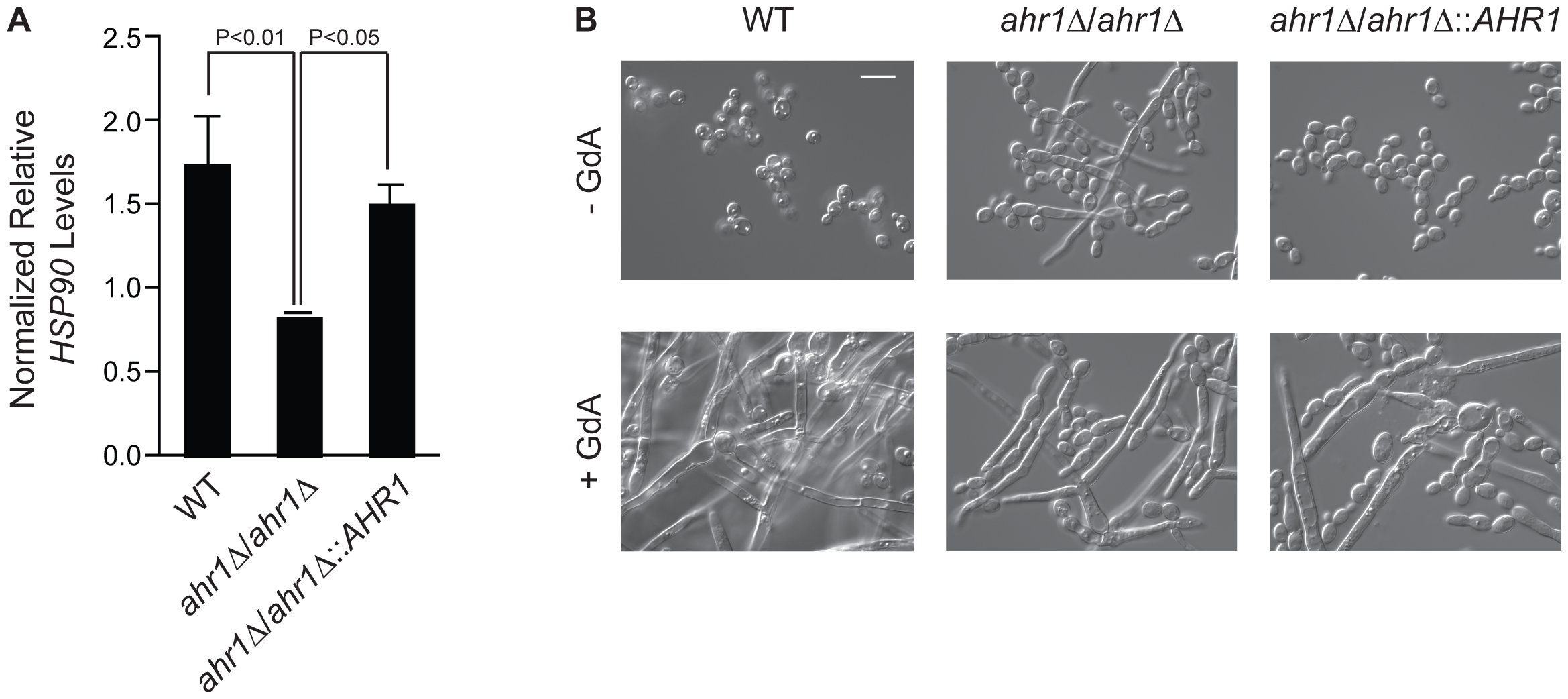 The high-connectivity interactor Ahr1 influences <i>HSP90</i> expression and morphogenesis.