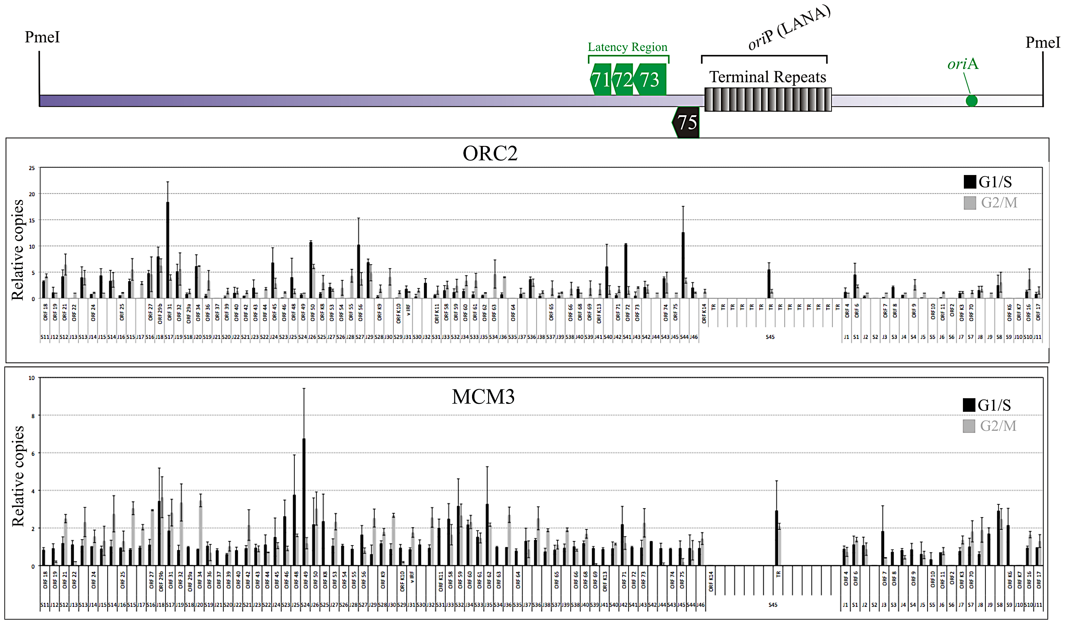 Chromatin Immunoprecipitation from G1/S and G2M enriched BCBL-1 cells using ORC2 and MCM3 antibodies.