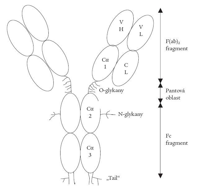 Schéma struktury imunoglobulinu A1.