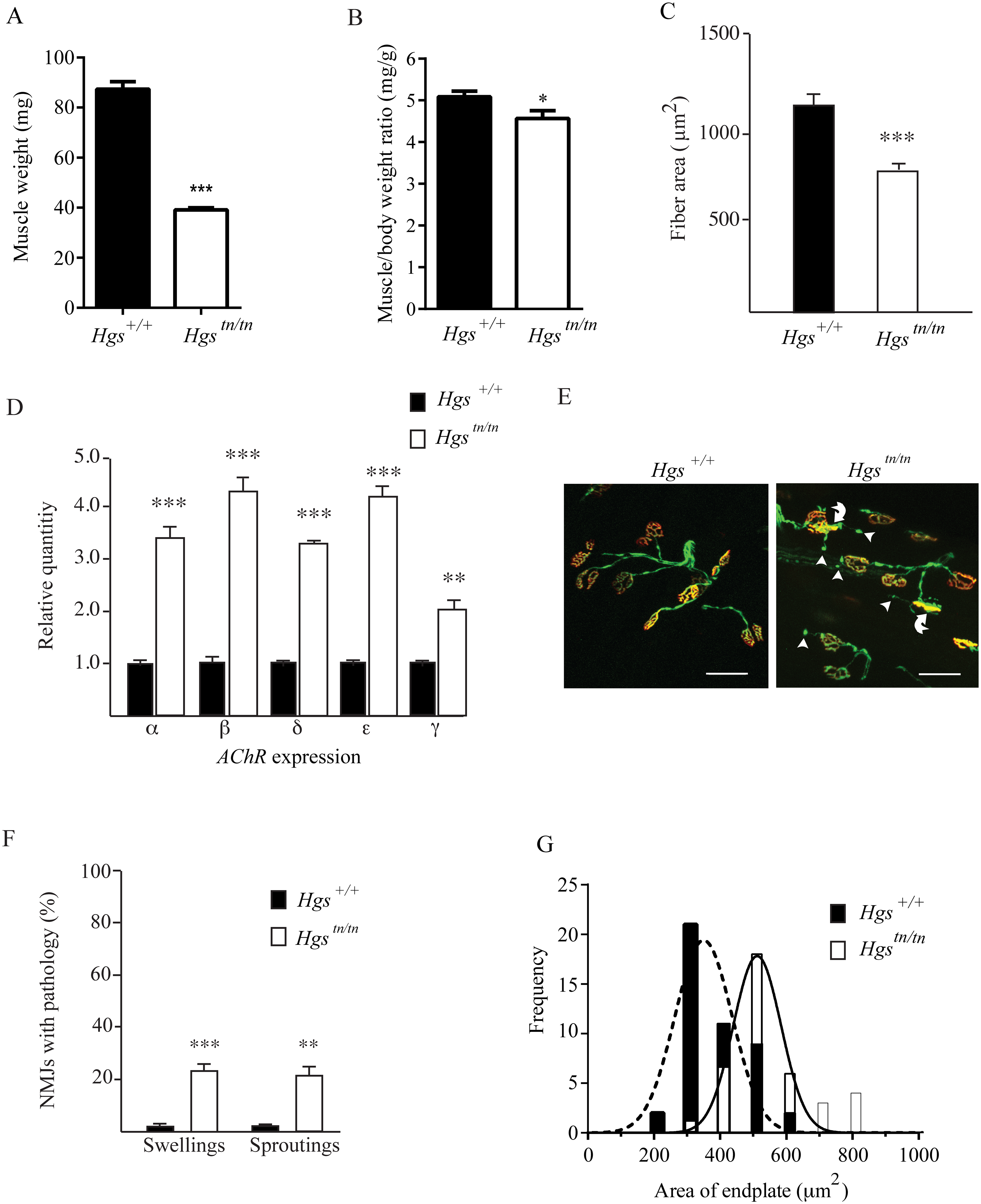 Alterations in muscles and motor endplates in the <i>Hgs</i><sup><i>tn/tn</i></sup> mice.