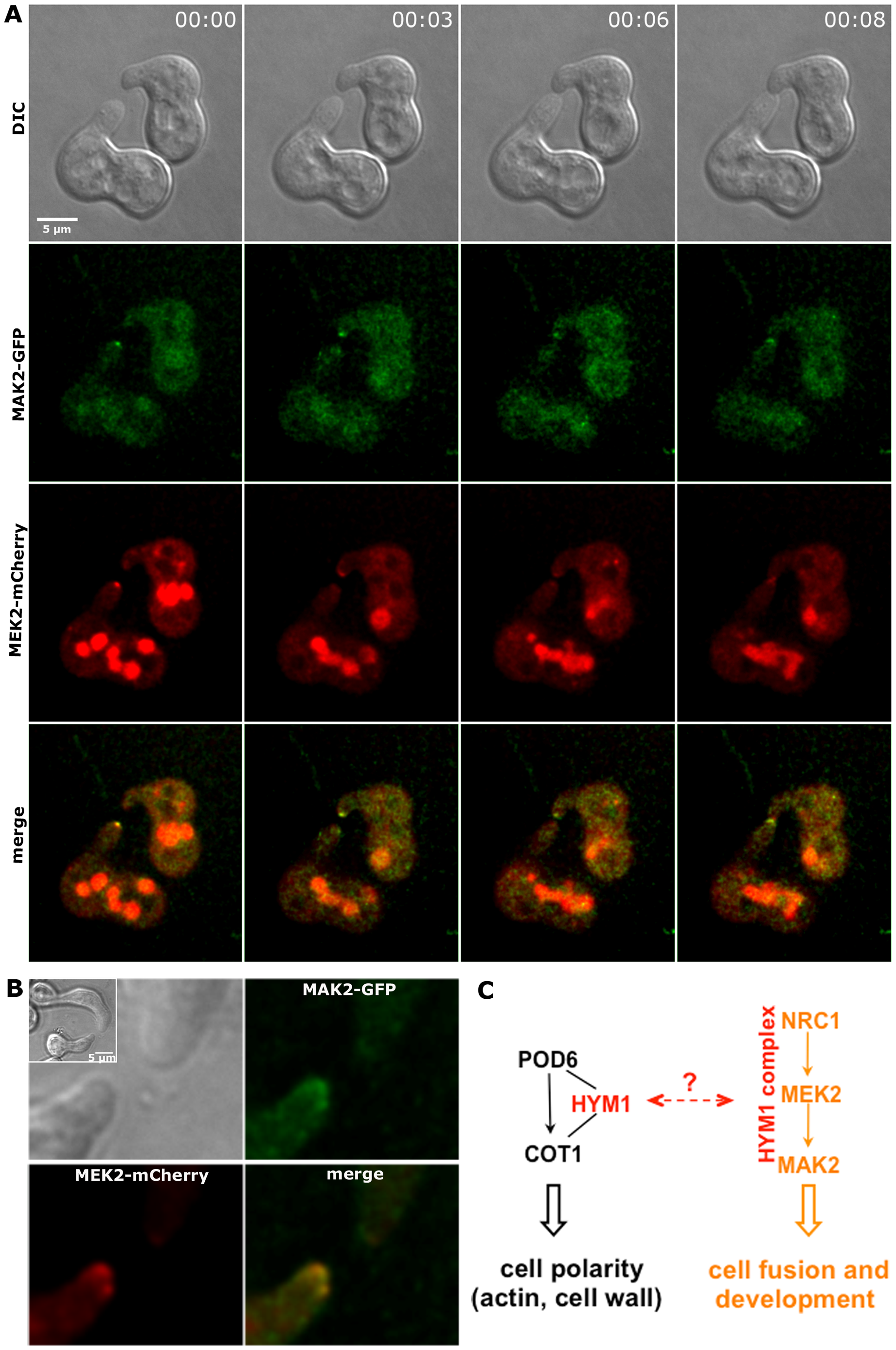 MAK2-GFP and MEK2-mCherry co-localize at the tips of interacting germlings.