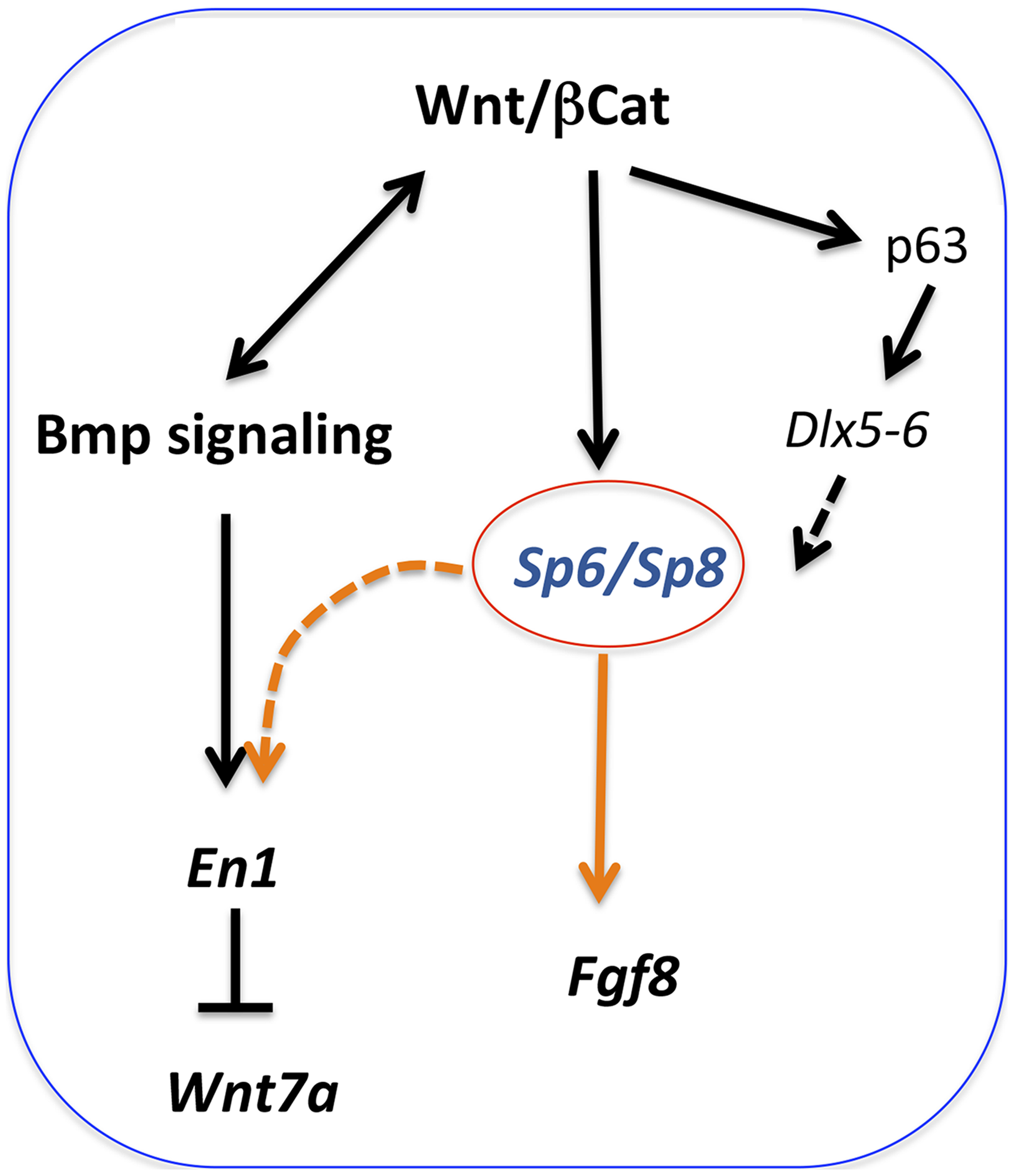 Regulatory pathways mediated by Sp6 and Sp8.