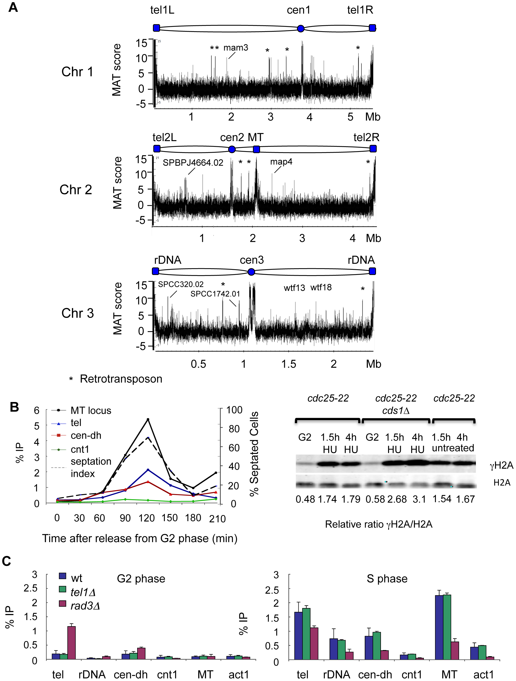 Genome-wide localization of γH2A during DNA replication.