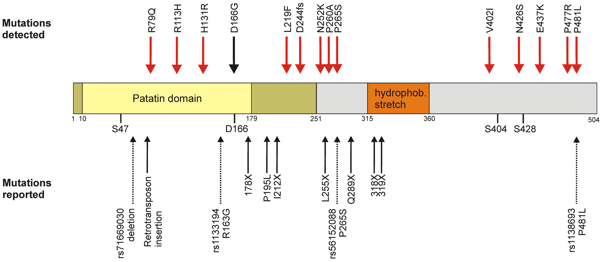 Domain organization and genetic variability of the ATGL protein.