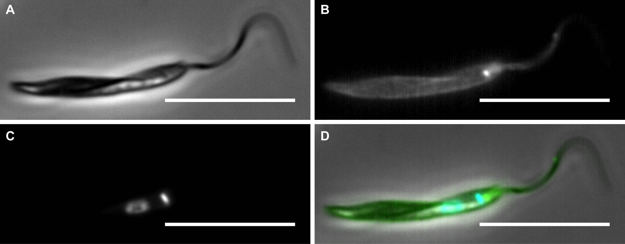 Epifluorescence microscopy to show cell surface biotin labelling of <i>Phytomonas serpens</i>.