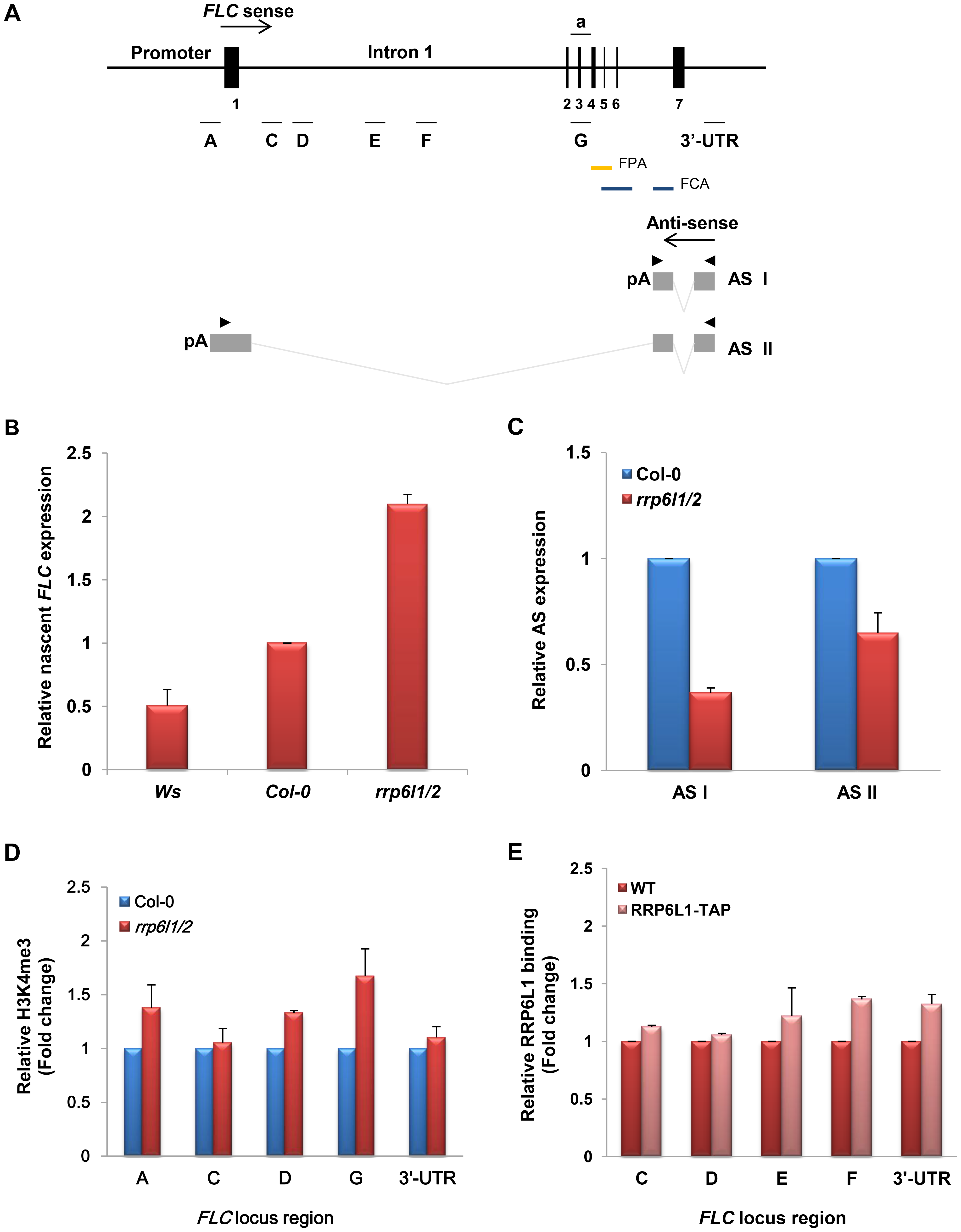 The effect of the <i>rrp6l1-3 and rrp6l2-3</i> mutations on expression of <i>FLC</i> sense and antisense transcripts, and on H3K4 methylation.