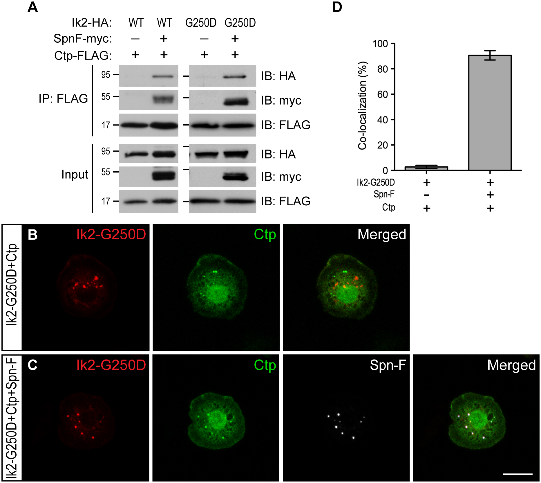 Spn-F links Ik2 kinase to dynein complexes via SpnF/Ctp interaction.