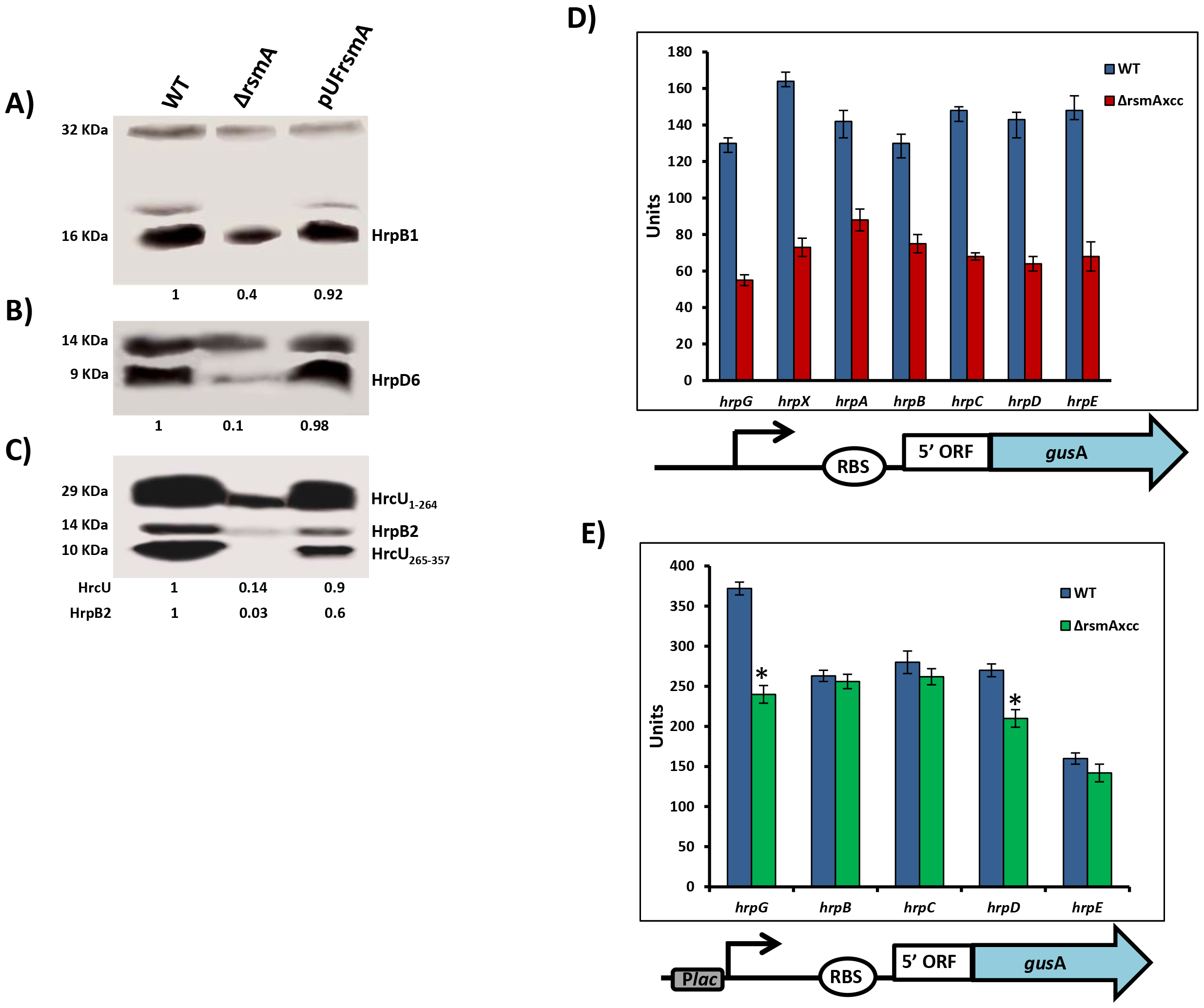 RsmA regulates protein levels of T3SS in <i>X. citri</i> subsp. citri.
