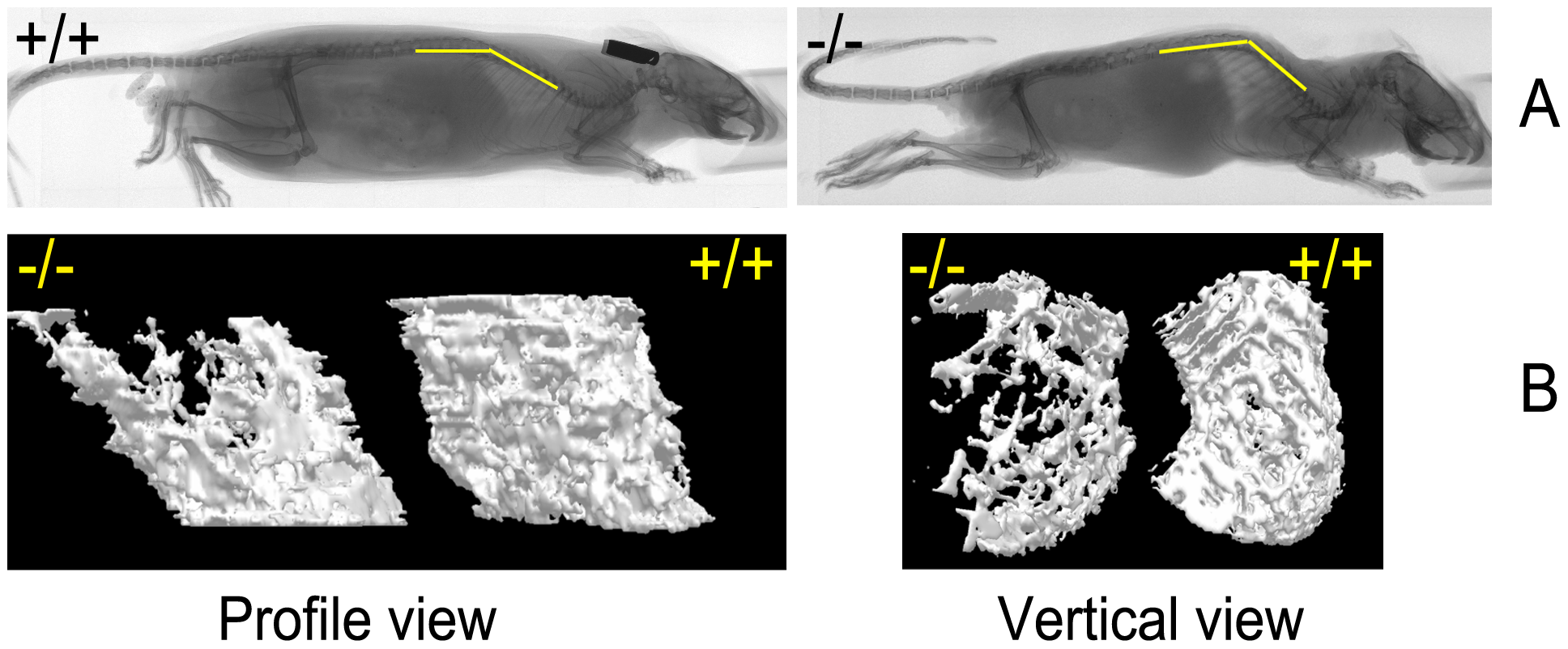 Skeletal abnormalities in the affected mice.