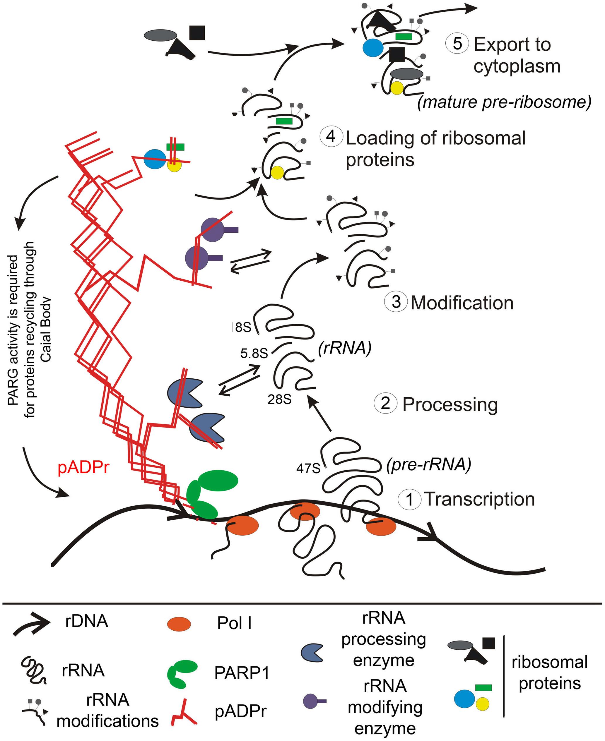 Nuclear PARP1 facilitates ribosomal biogenesis: a model.