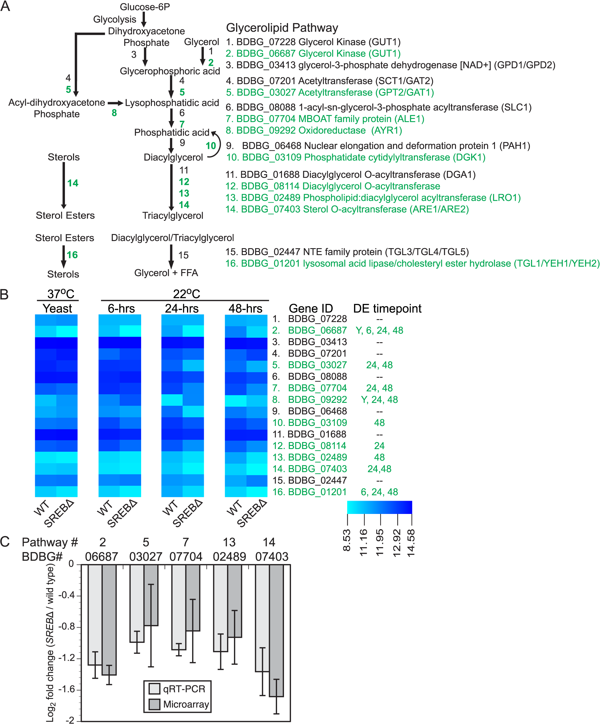 Deletion of <i>SREB</i> affects the transcription of genes in the glycerolipid biosynthetic pathway.