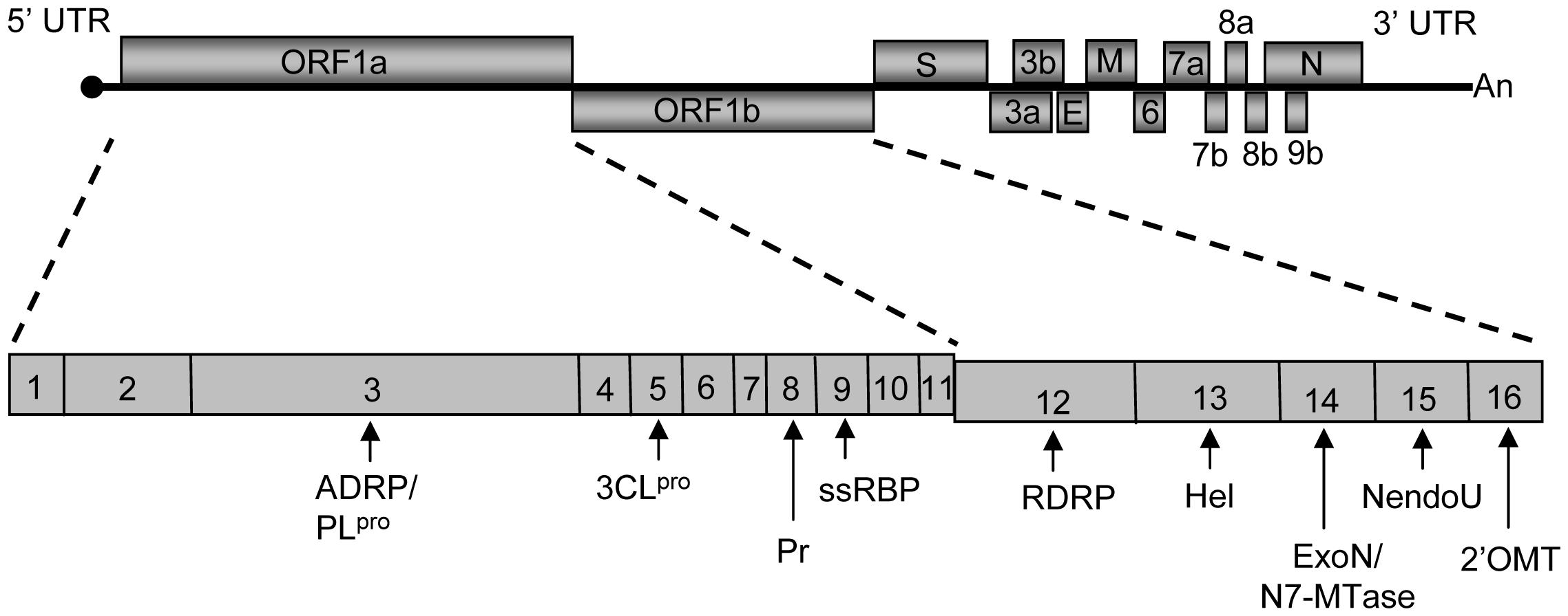 Schematic diagram of the SCoV genome.