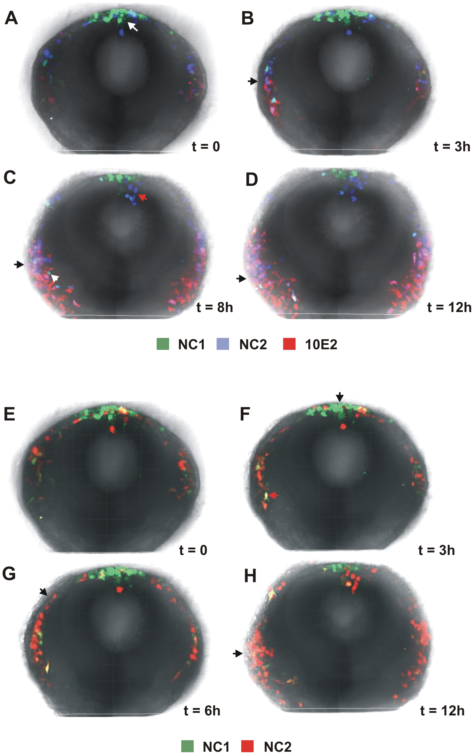 Dynamic regulation of FoxD3 and Sox10 enhancers in the cranial neural crest.