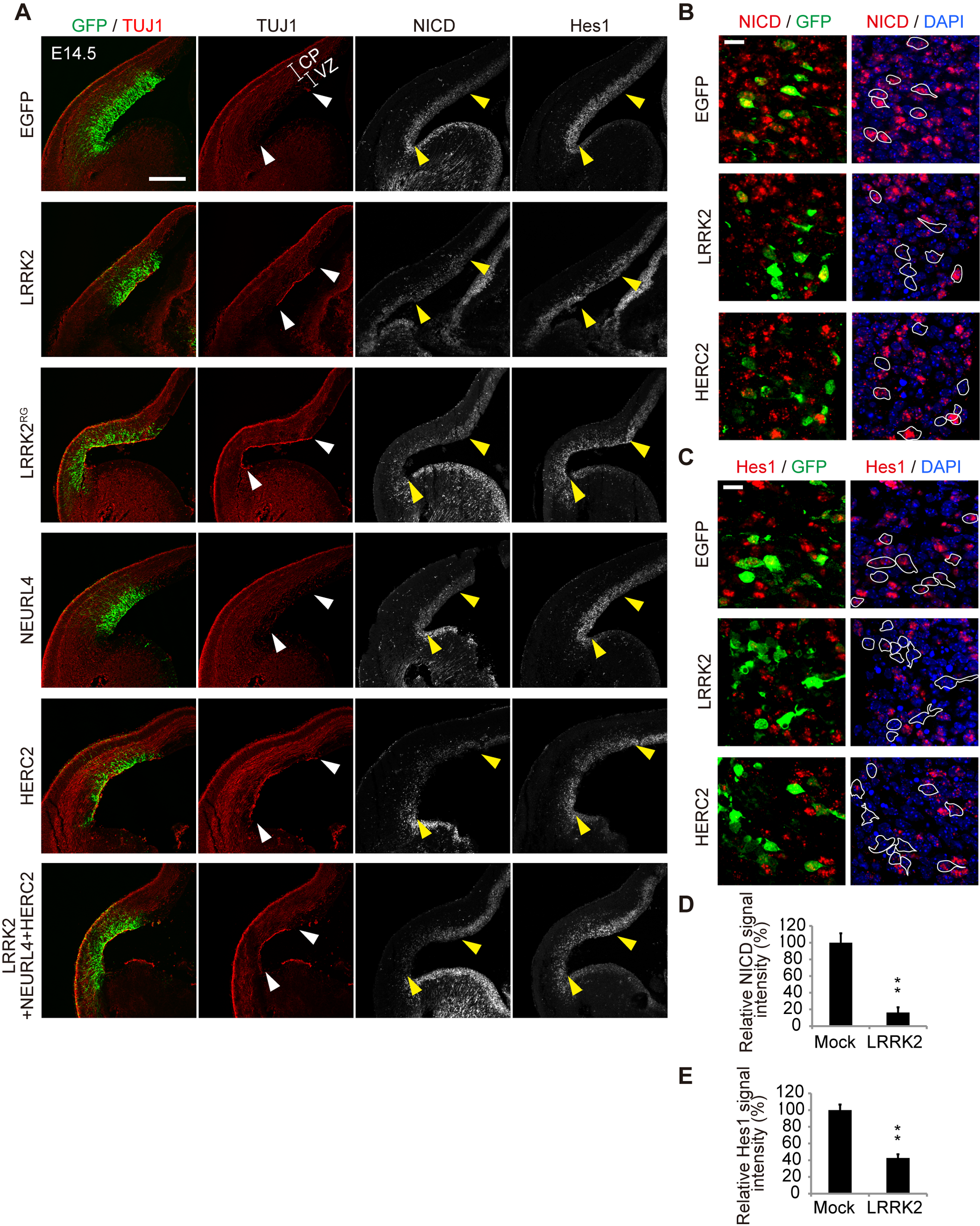 LRRK2 complex promotes neuronal differentiation <i>in vivo</i>.