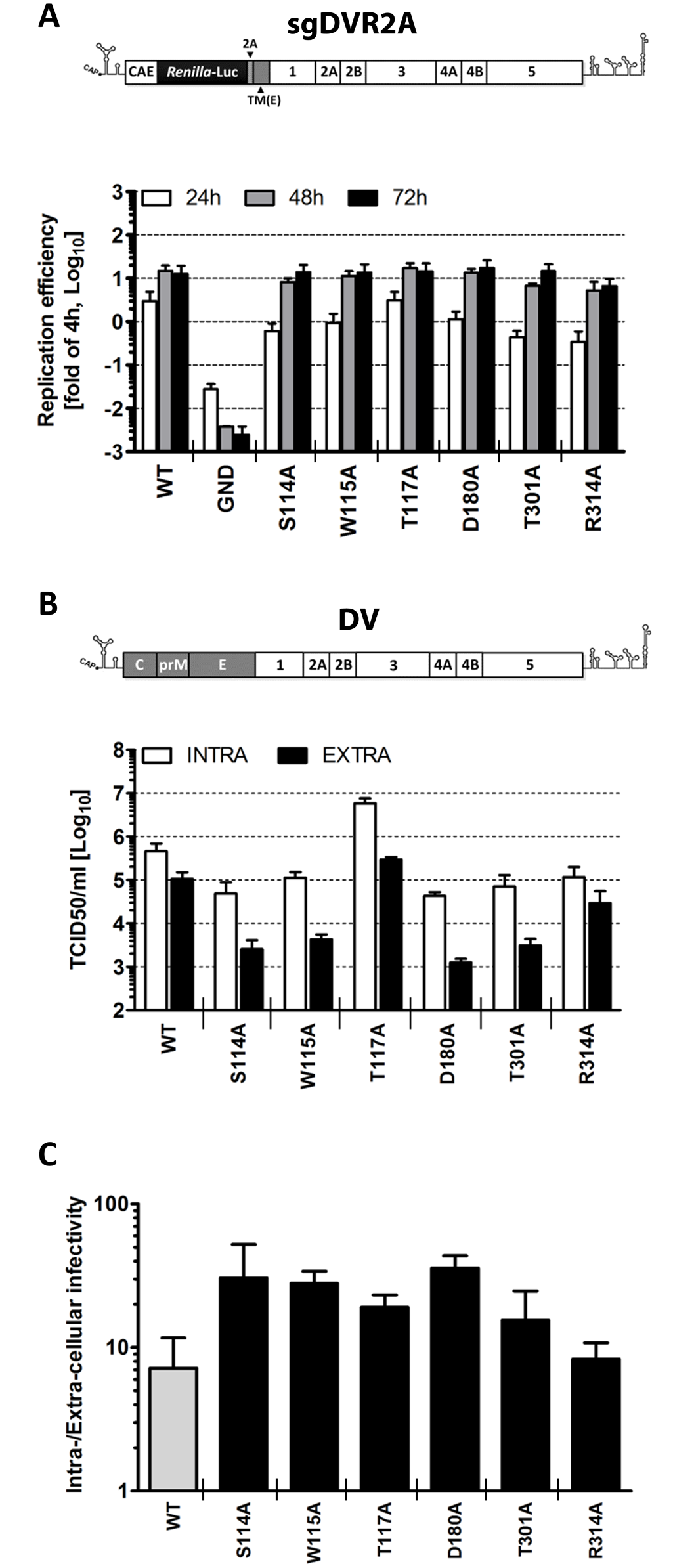 Characterization of selected NS1 mutants reveals specific defects in infectious particle production.