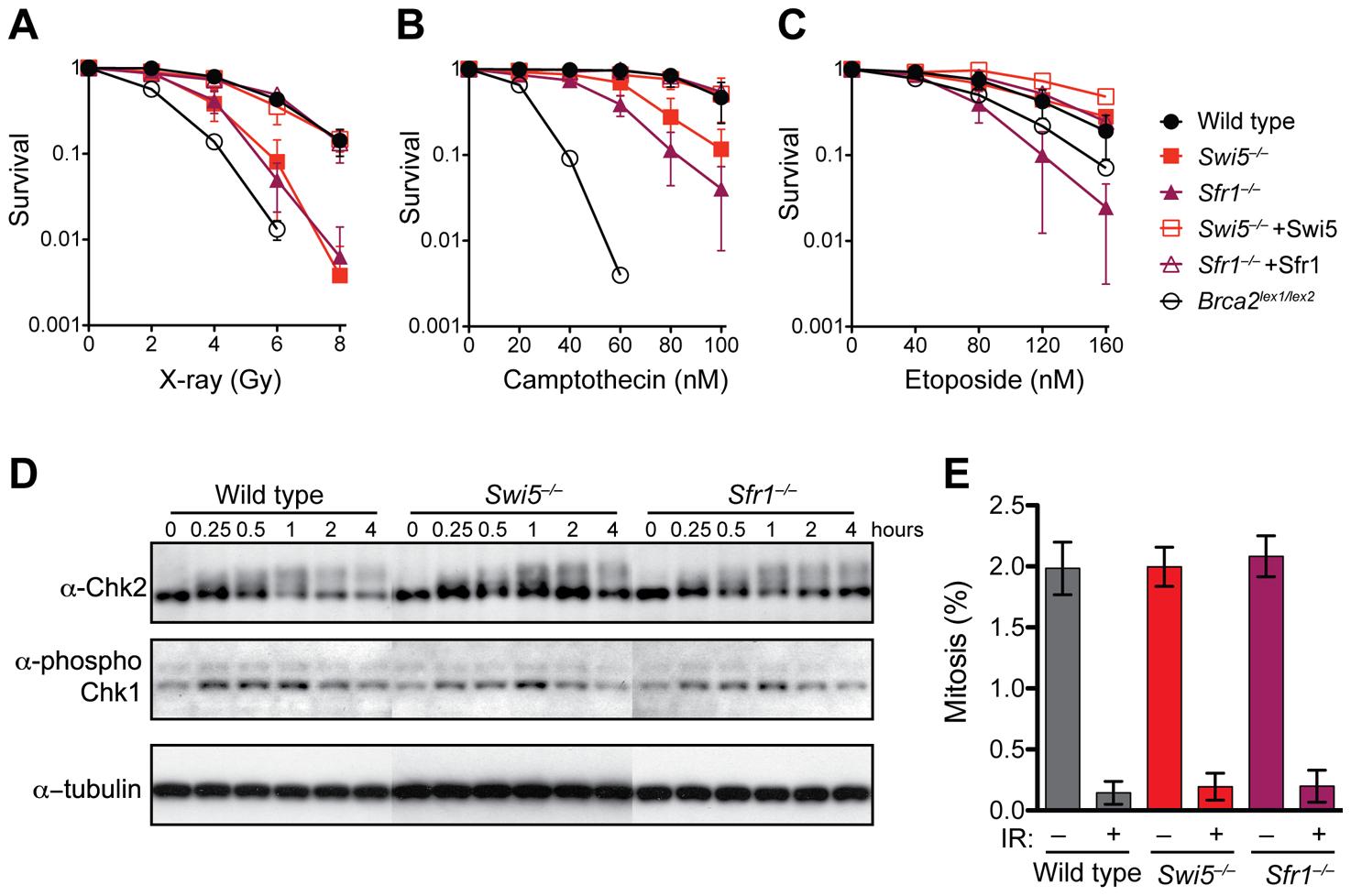 <i>Swi5</i><sup>−/−</sup> and <i>Sfr1</i><sup>−/−</sup> cells are defective in the repair of DNA strand breaks.