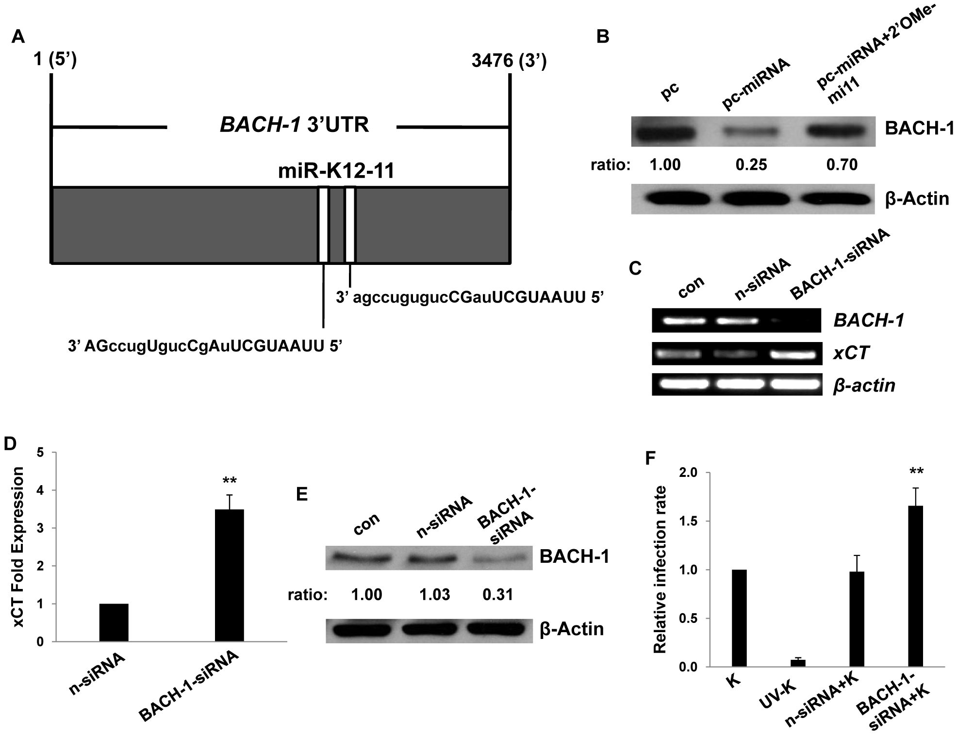 KSHV miRNAs upregulate xCT expression through repression of BACH-1.