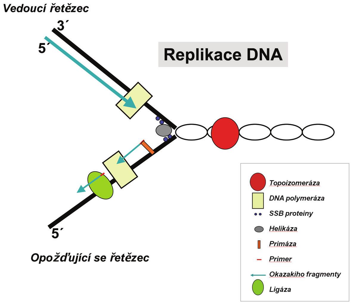 Replikační vidlice je místo na dvoušroubovici DNA, kde právě probíhá replikace. Má tvar písmene Y. Oddělení vláken dvoušroubovice způsobují enzymy helikázy, tento tvar stabilizují SSB proteiny a samotné replikaci se věnuje DNA polymeráza. Tyto a další enzymy postupují po molekule DNA a přepisují ji.