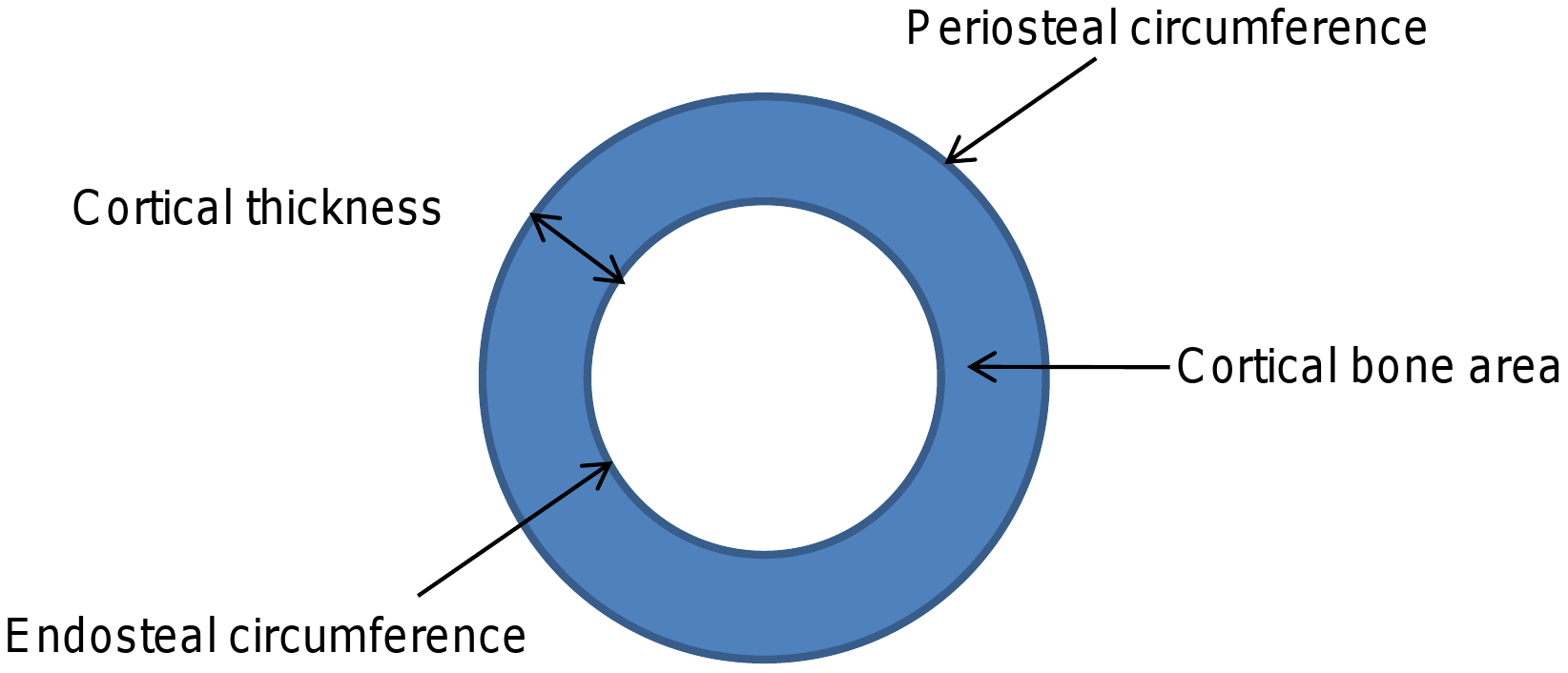 Cartoon depicting different cortical dimensions derived from tibial pQCT scans.