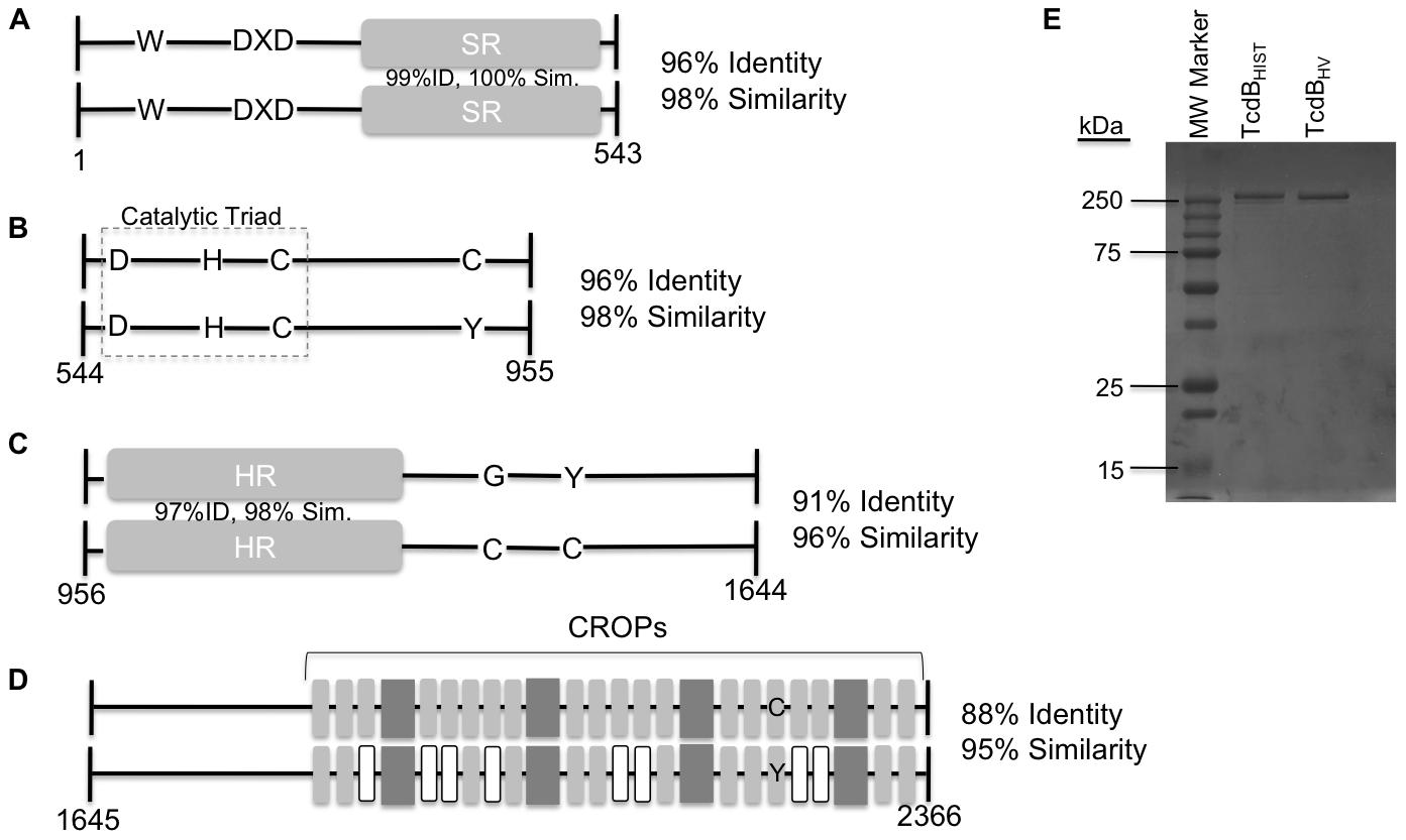 Representation of sequence variation between TcdB<sub>HIST</sub> and TcdB<sub>HV</sub>.