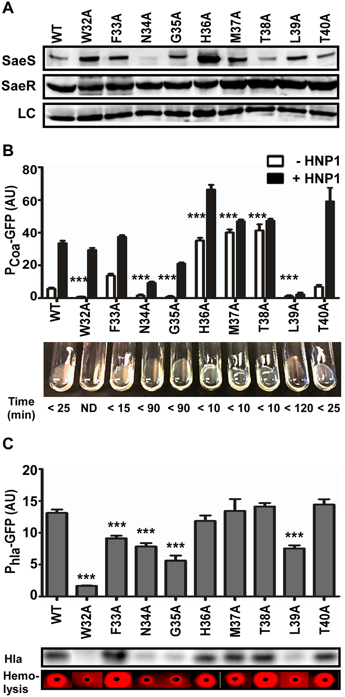 Alanine substitutions in the linker peptide alter the kinase activity of SaeS.