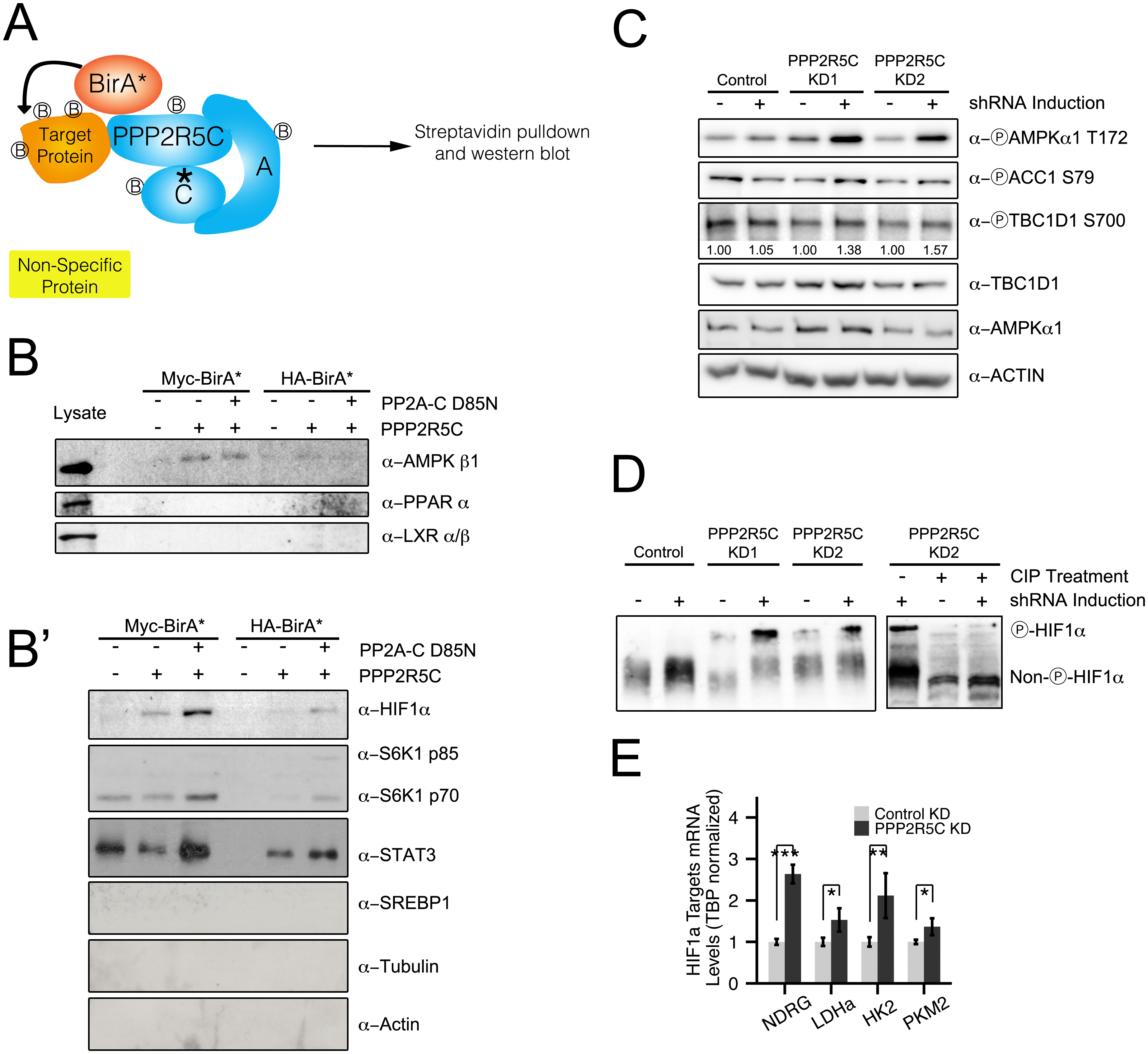 PPP2R5C regulates AMPK and HIF1α.
