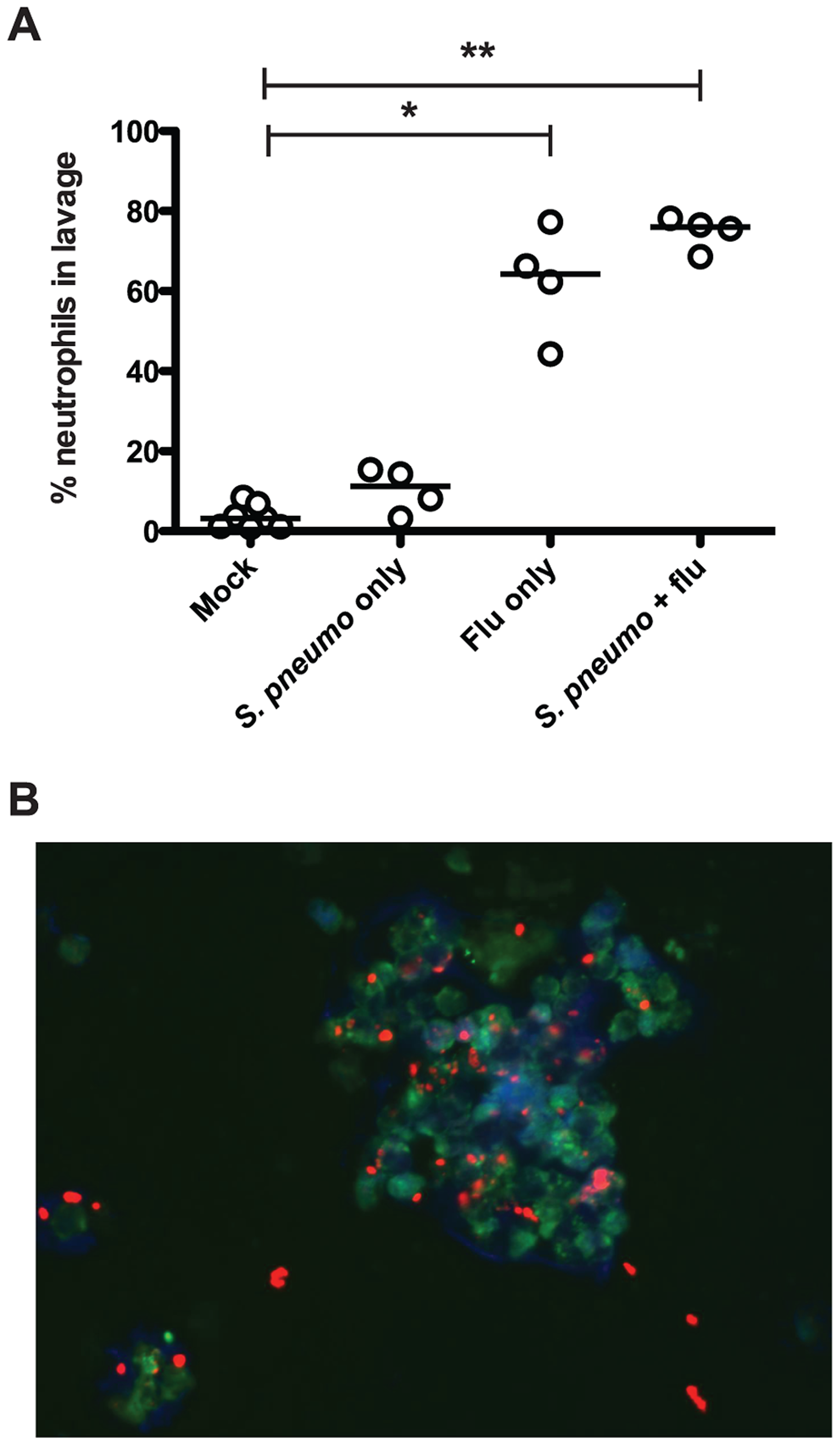 Influenza infection results in neutrophil influx to the nasopharynx.