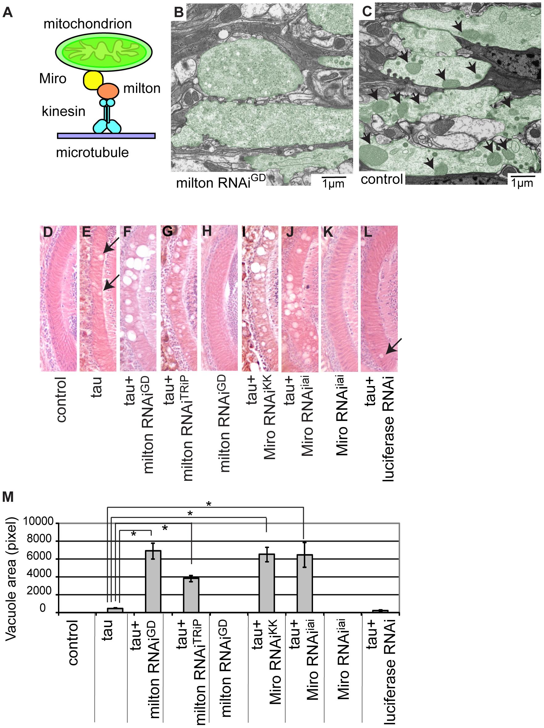 RNAi–mediated knockdown of milton or Miro enhances human tau-induced neurodegeneration.