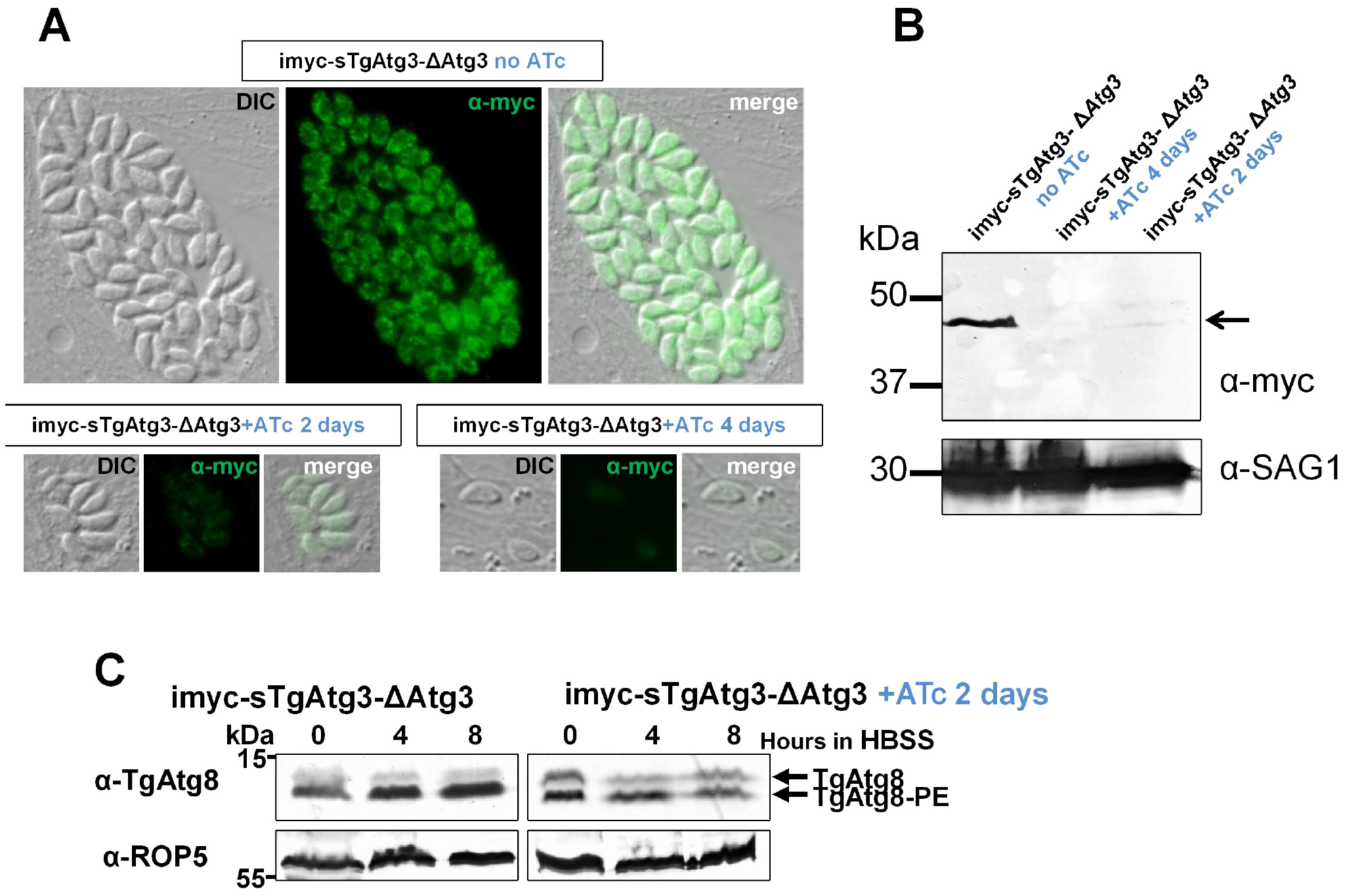 Conditional depletion of TgAtg3 leads to a lack of recruitment of TgAtg8 to the autophagosomes.
