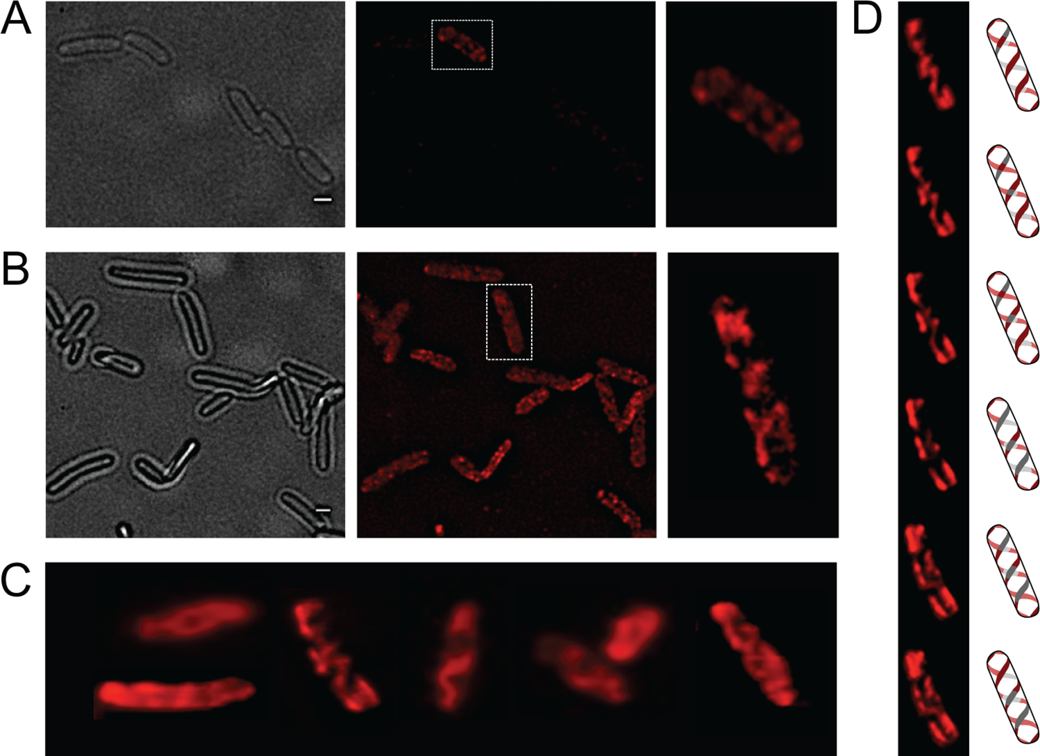 Analysis of OpvA and OpvB localization by fluorescence microscopy.