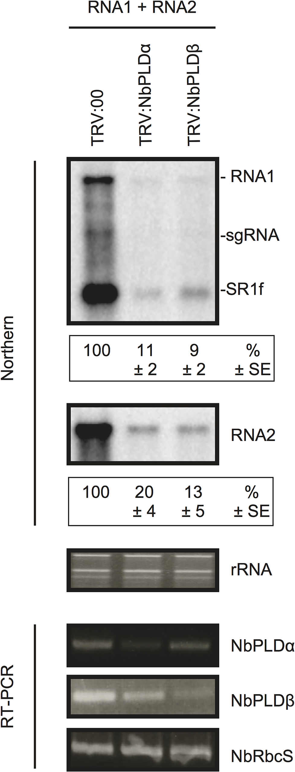 Knockdown of <i>NbPLDα</i> and <i>NbPLDβ</i> mRNAs levels via gene silencing inhibits the accumulation of RCNMV RNAs in <i>N</i>. <i>benthamiana</i>.