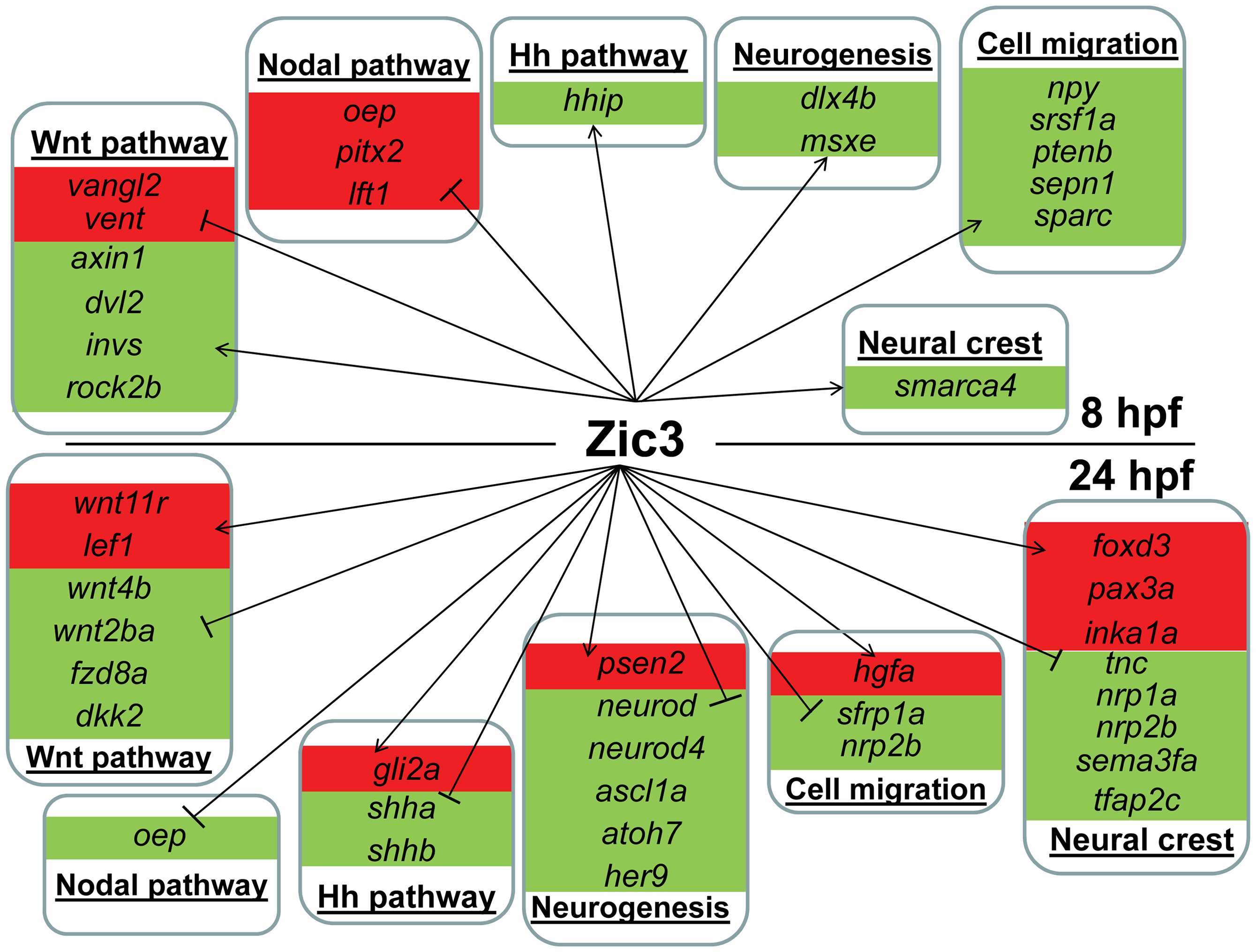 Candidate target genes regulated by Zic3 at 8 hpf and 24 hpf developmental stages.